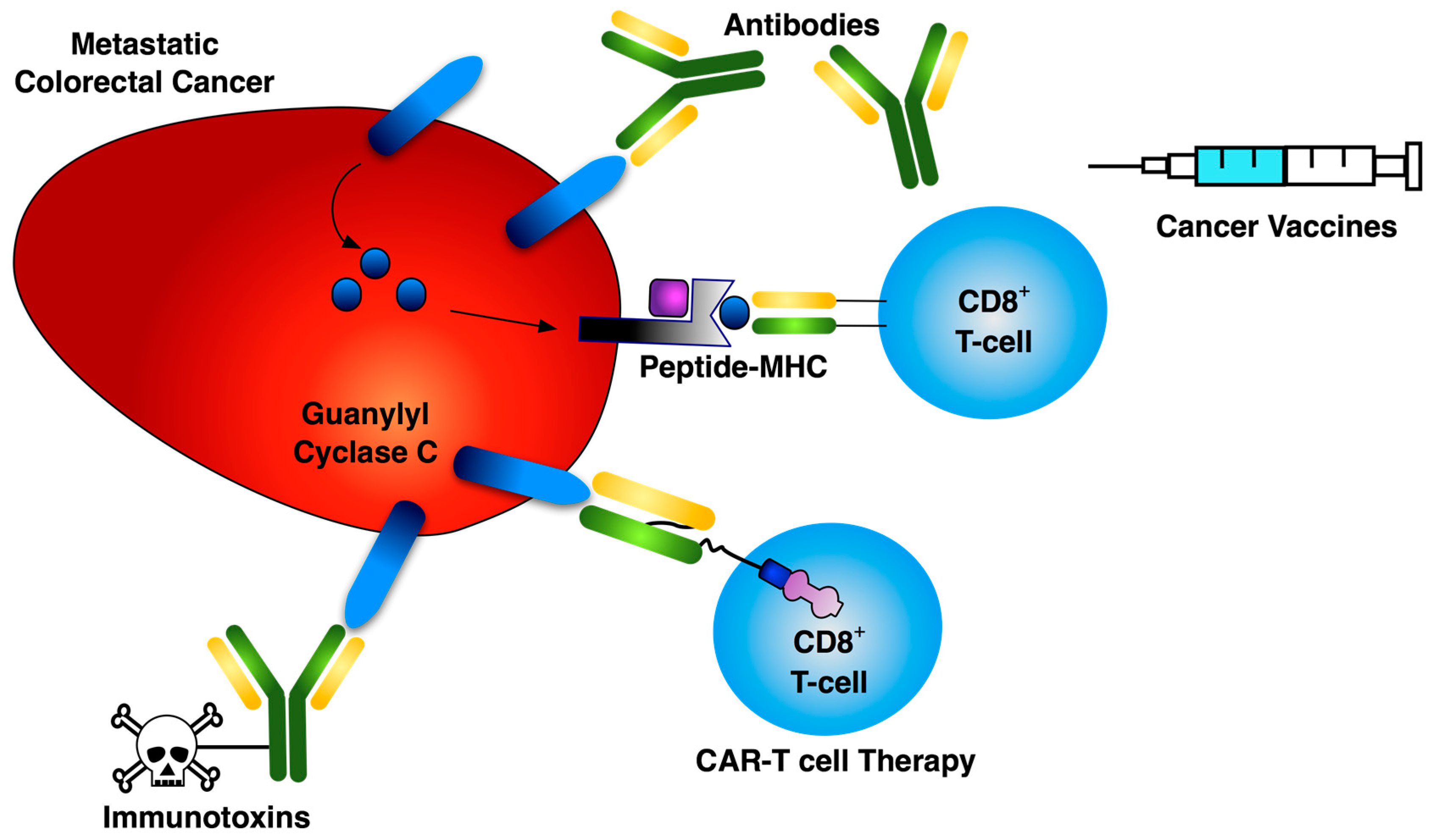 Toxins Free Full Text The Heat Stable Enterotoxin Receptor Guanylyl Cyclase C As A Pharmacological Target In Colorectal Cancer Immunotherapy A Bench To Bedside Current Report Html