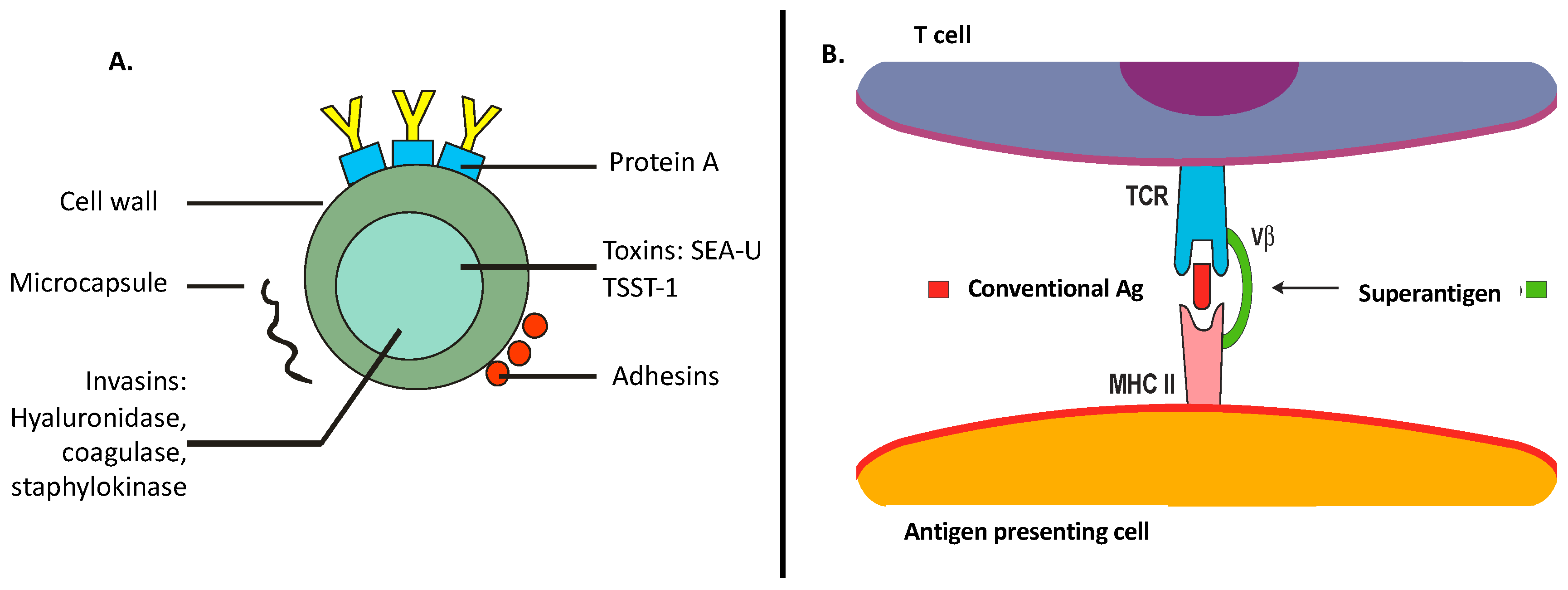 CURS 1 Genul Staphylococcus, Toxine tsst 1