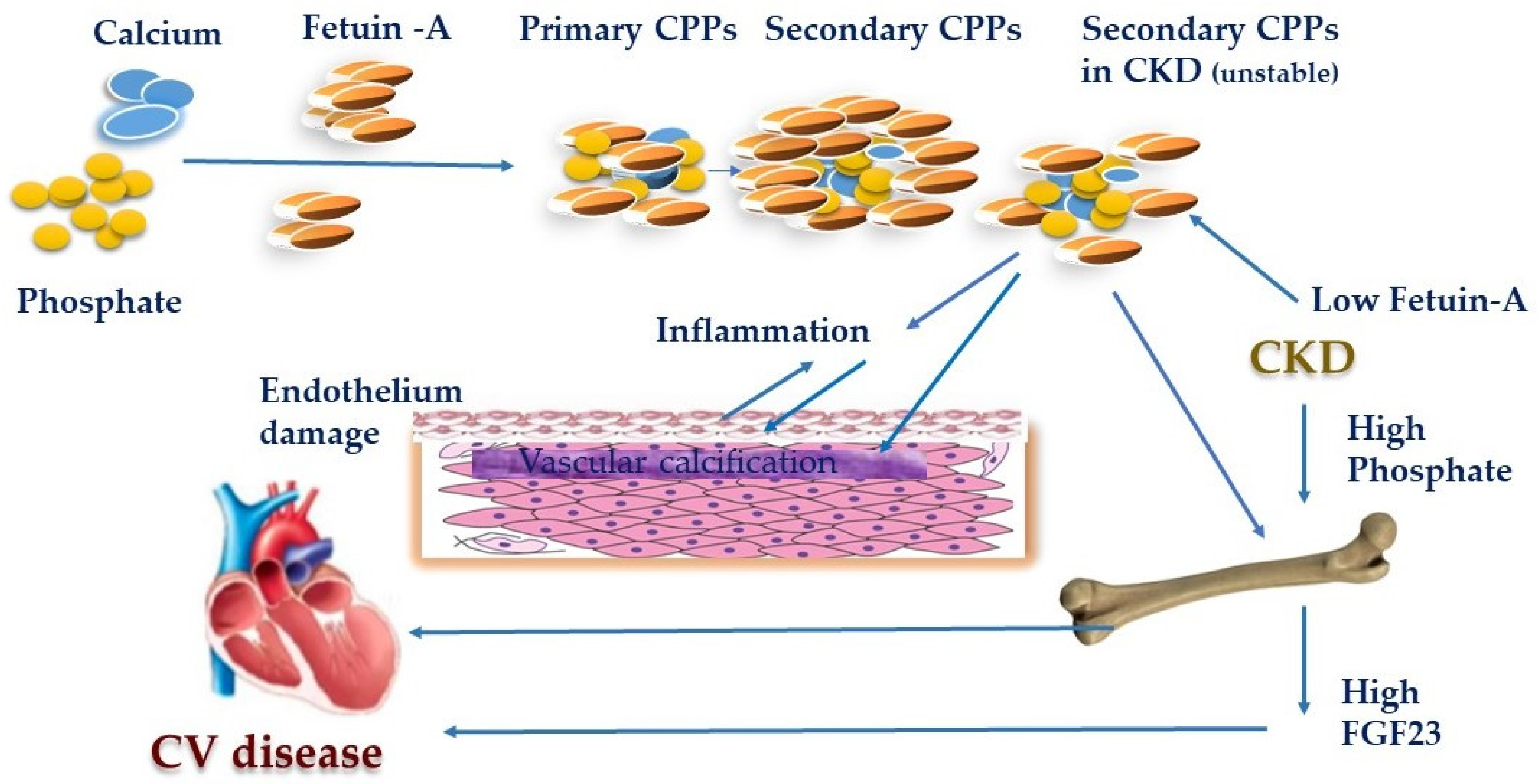 Toxins Free Full Text Should We Consider The Cardiovascular System While Evaluating Ckd Mbd Html