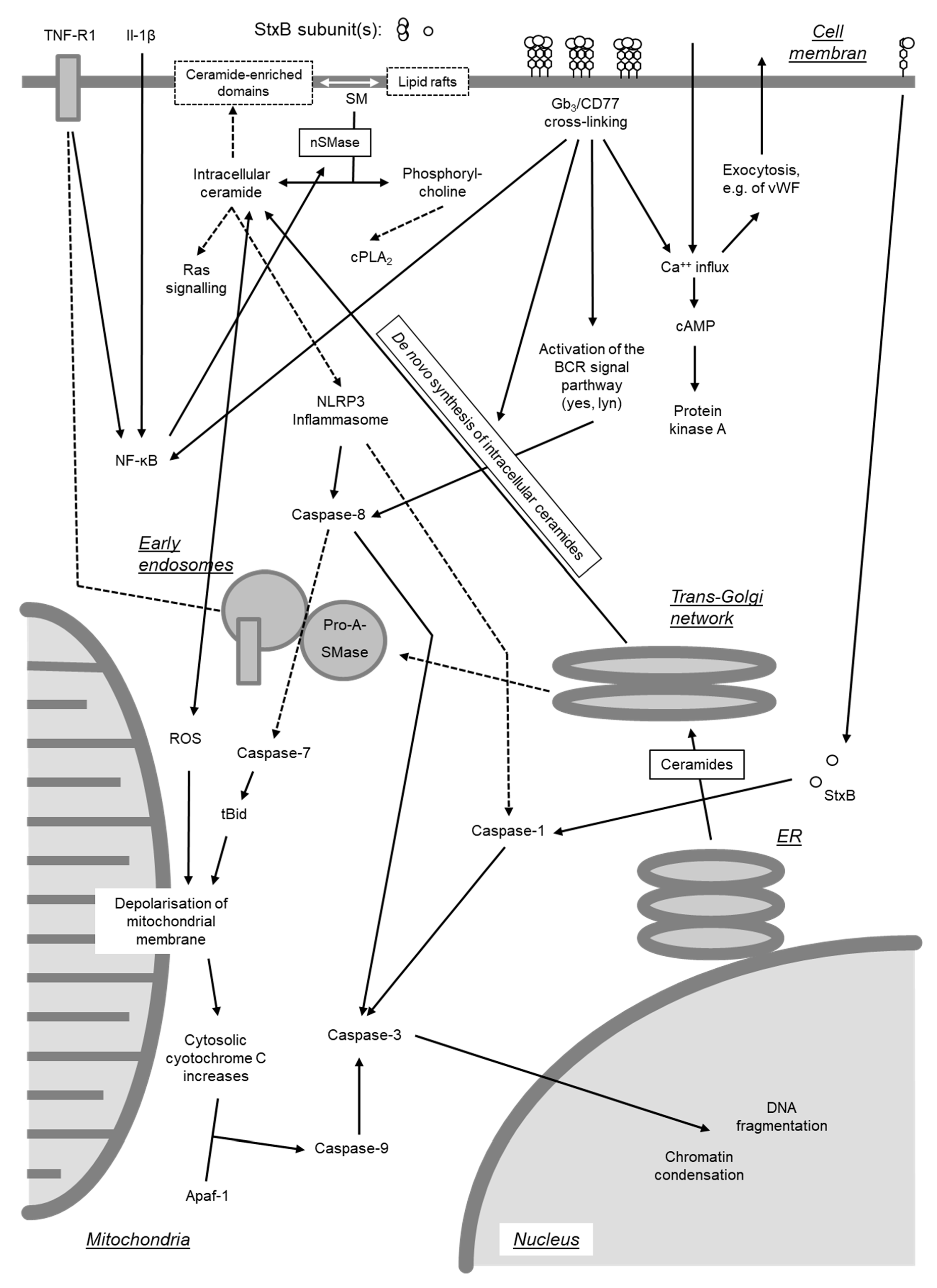 Toxins Free Full Text Molecular Biology Of Escherichia Coli Shiga Toxins Effects On Mammalian Cells Html