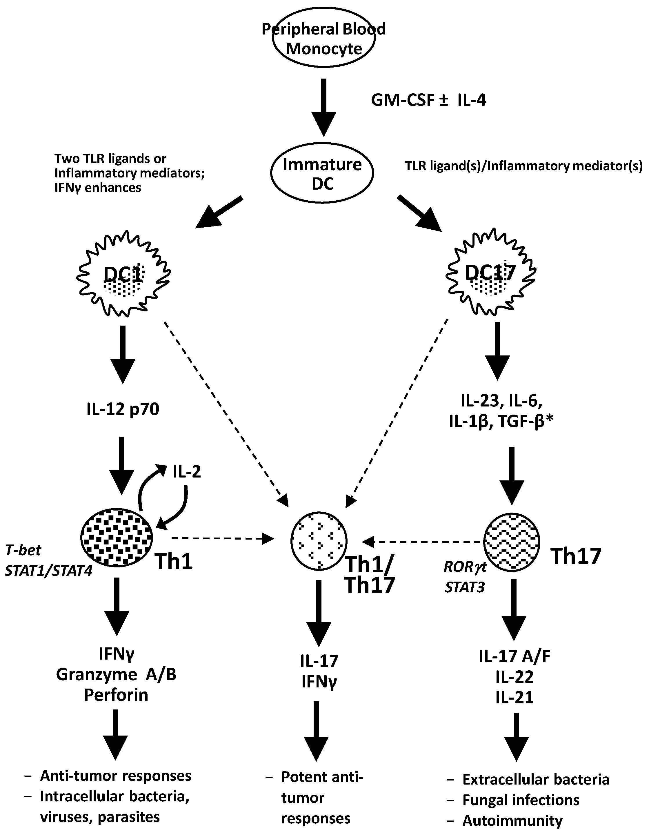 Vaccines Free Full Text Dendritic Cell Induced Th1 And