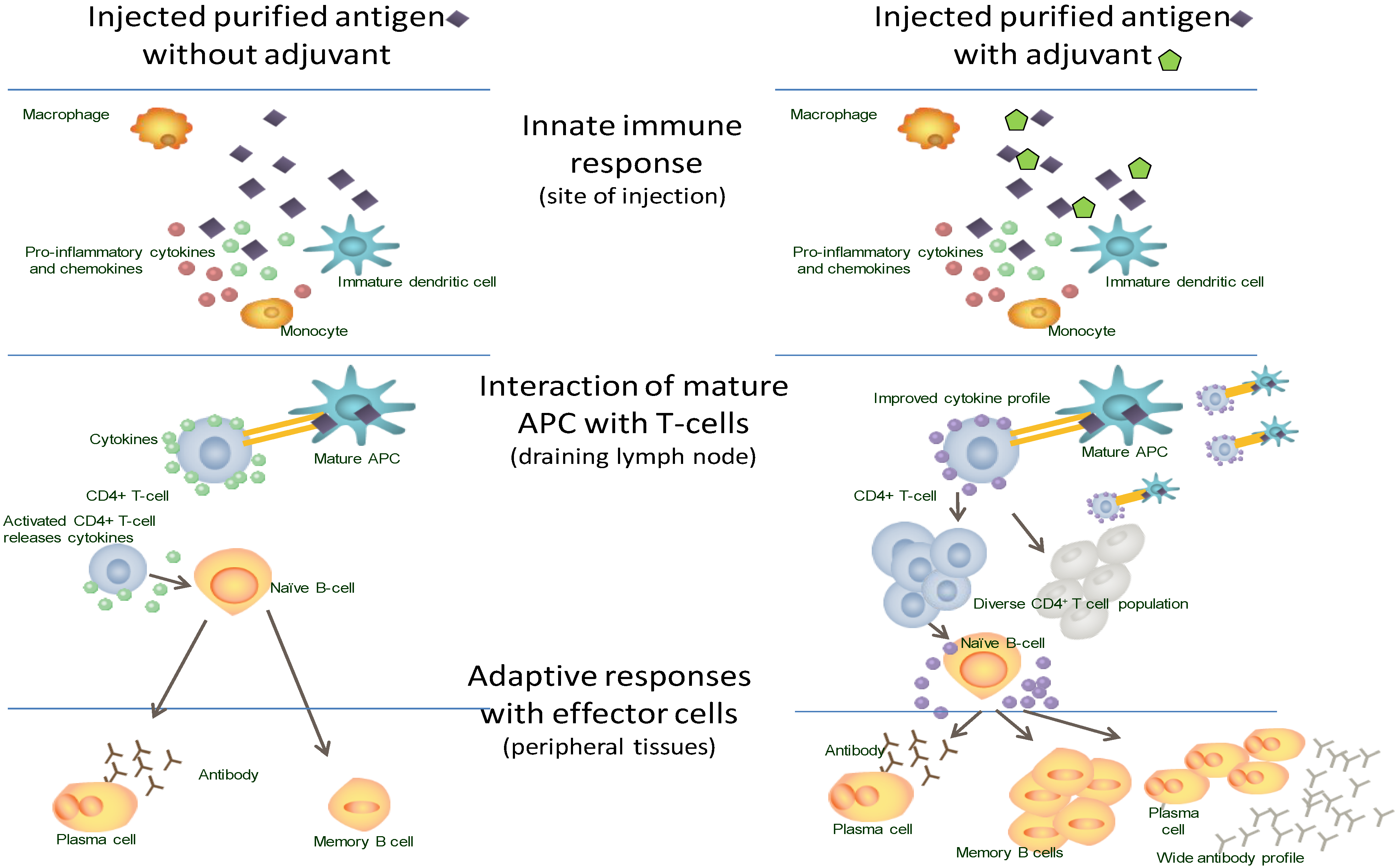 hiv immunity essay Hiv attacks a specific type of immune system cell in the body it's known as the  cd4 helper cell or t cell when hiv destroys this cell, it becomes.