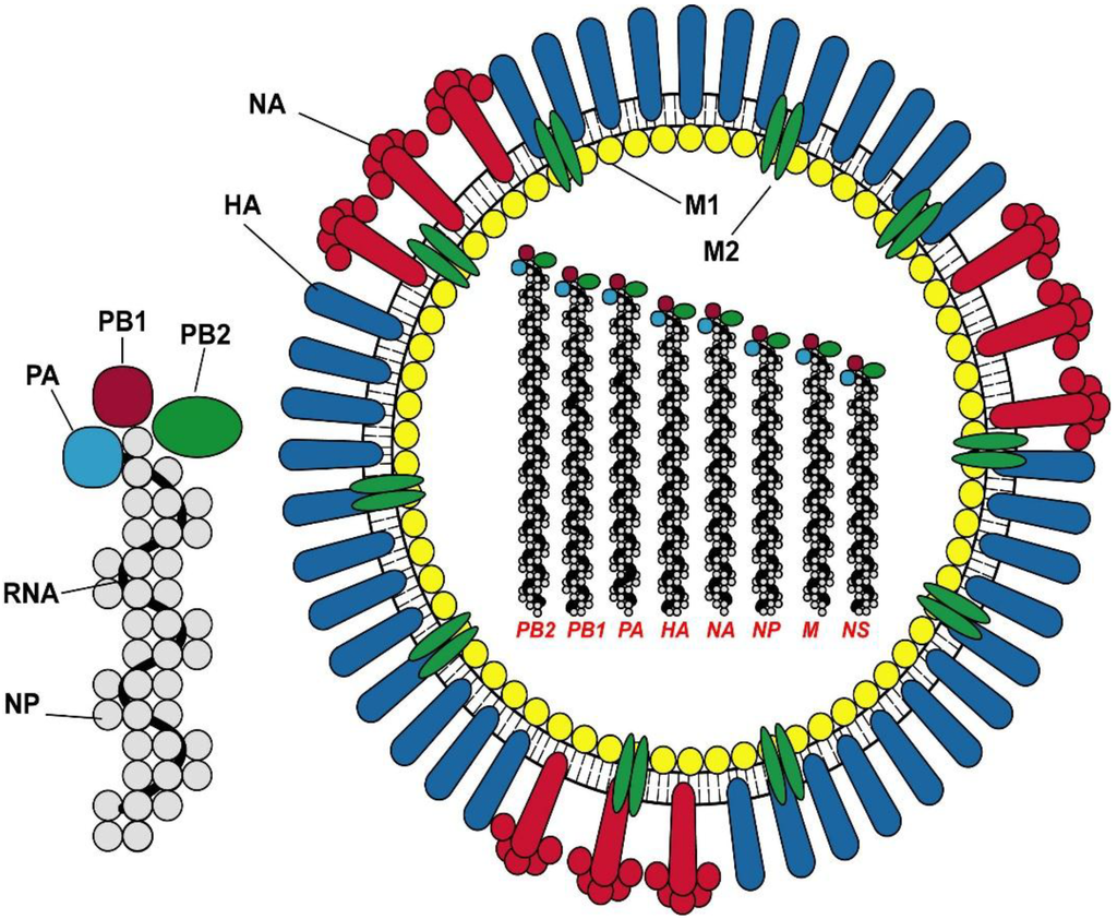 Influenza Protein Structure The Structure of Influenza a