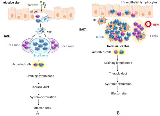 self adjuvanting polymer Self-adjuvanting polyacrylic nanoparticulate delivery system for group a streptococcus (gas) vaccine  dendritic polymer intranasal administration of this.