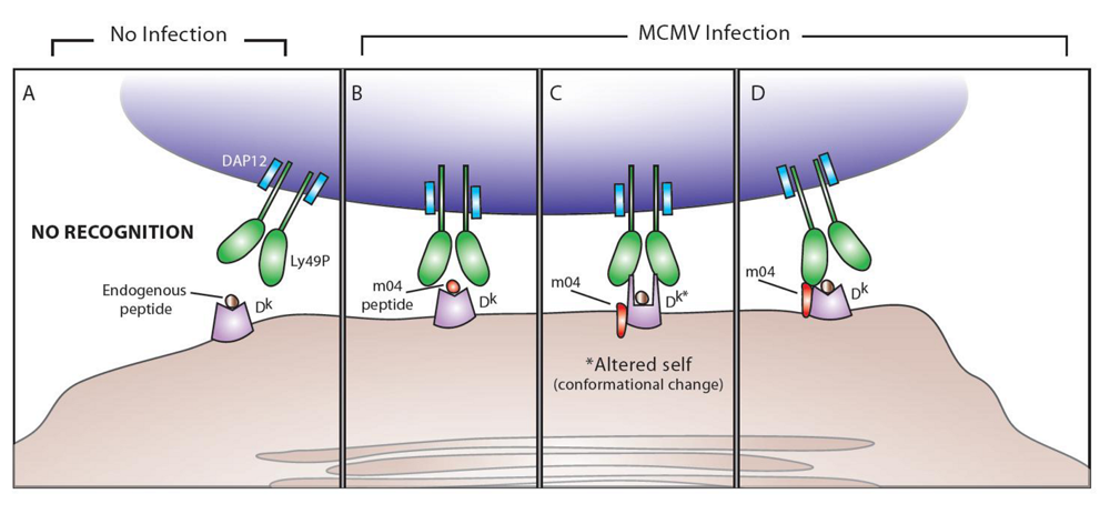 Viruses  Free Full-Text  The Natural Selection of Herpesviruses and Virus-Specific NK Cell