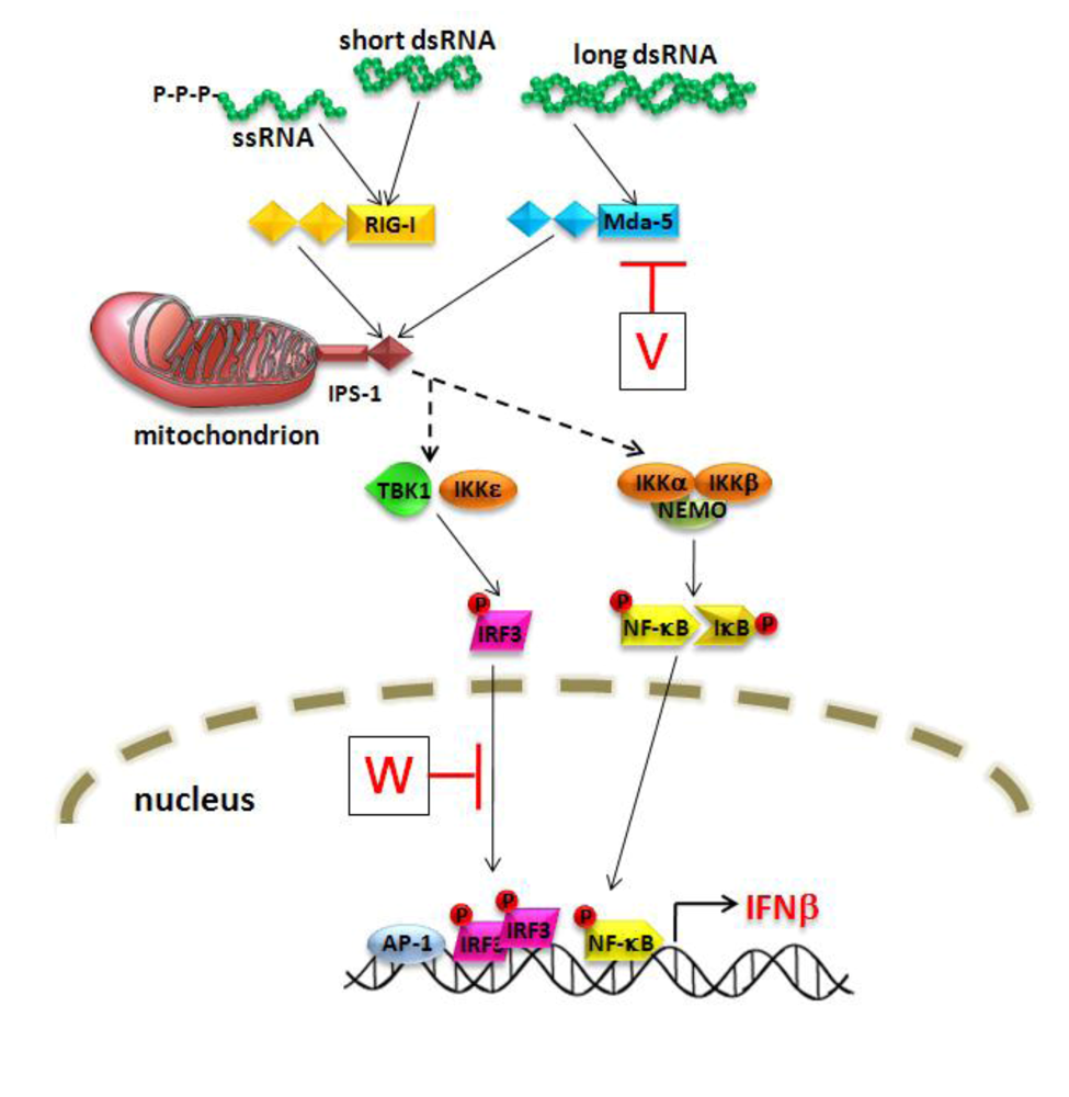 Henipaviruses Employ A