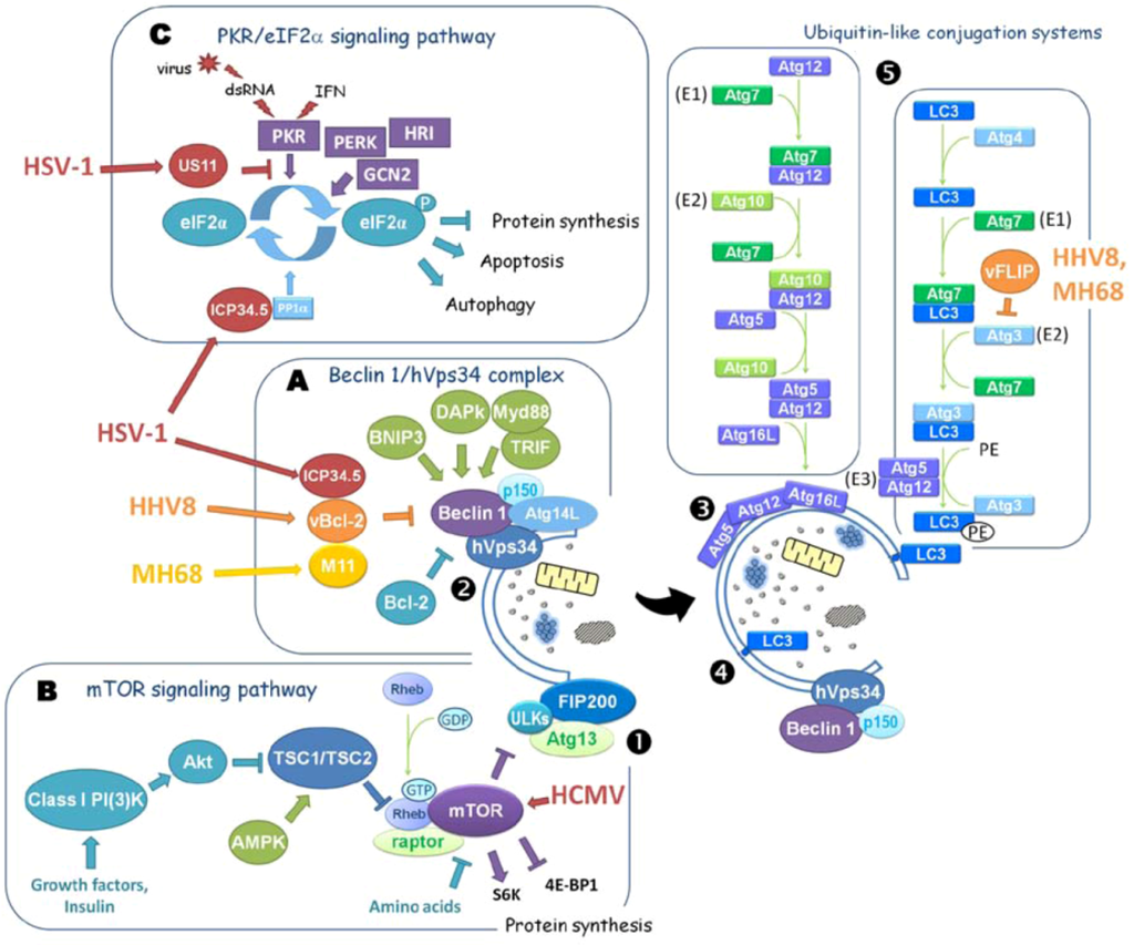 Viruses | Free Full-Text | Herpesviruses and Autophagy: Catch Me If