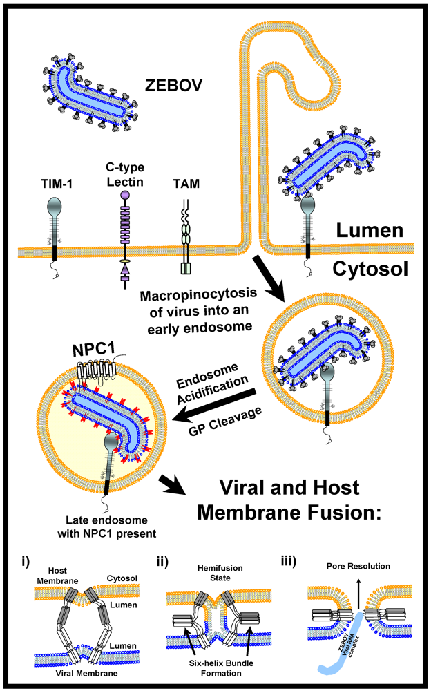 The incubation period of a viral infection