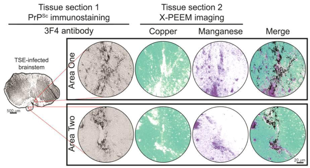 How does manganese affect prion protein aggregation?