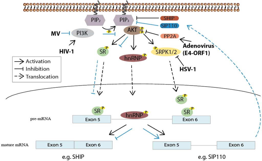 Activation of the human immunodeficiency virus by herpes simplex virus type 1 2