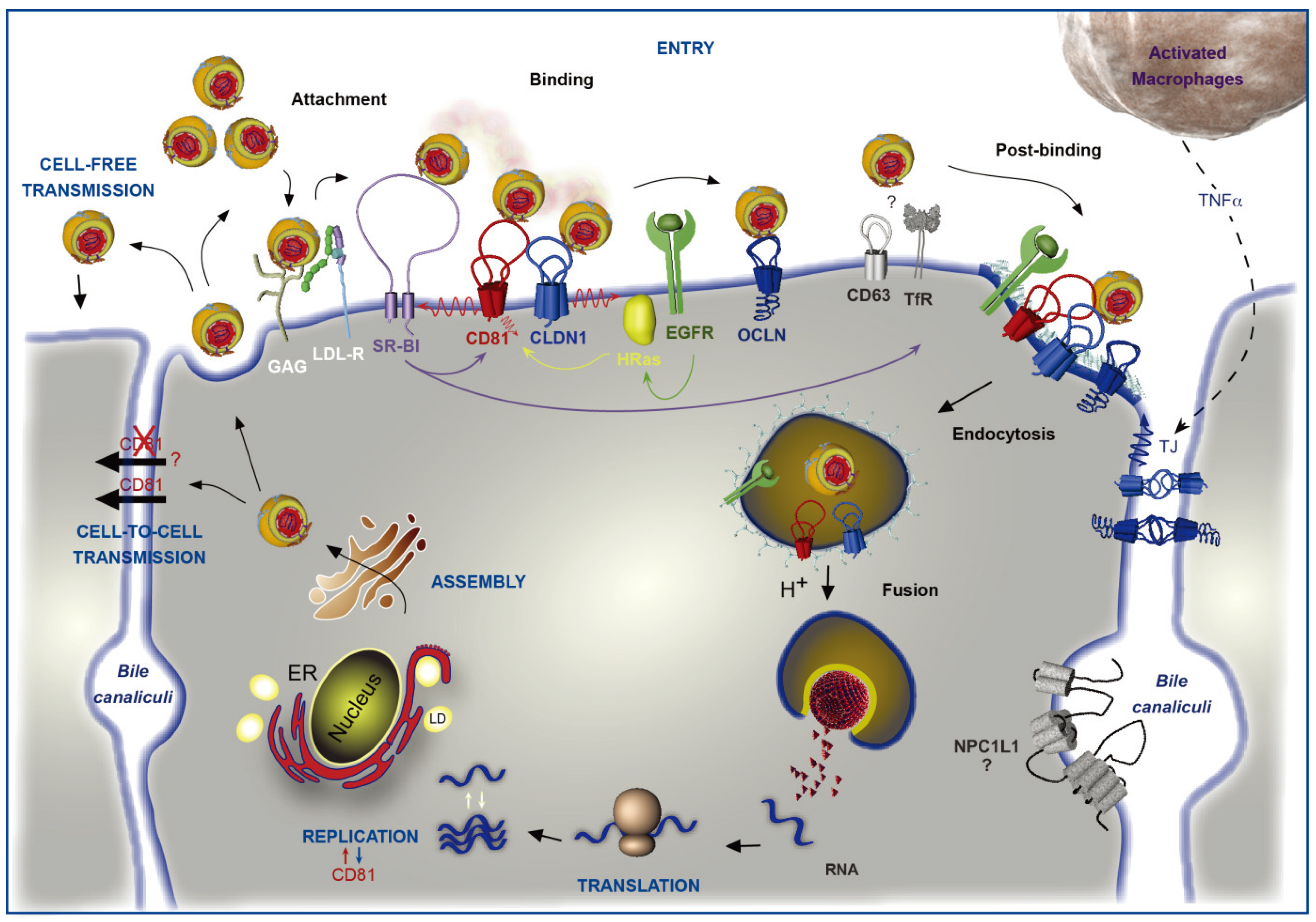 Viruses   Free Full-Text   CD81 and Hepatitis C Virus (HCV