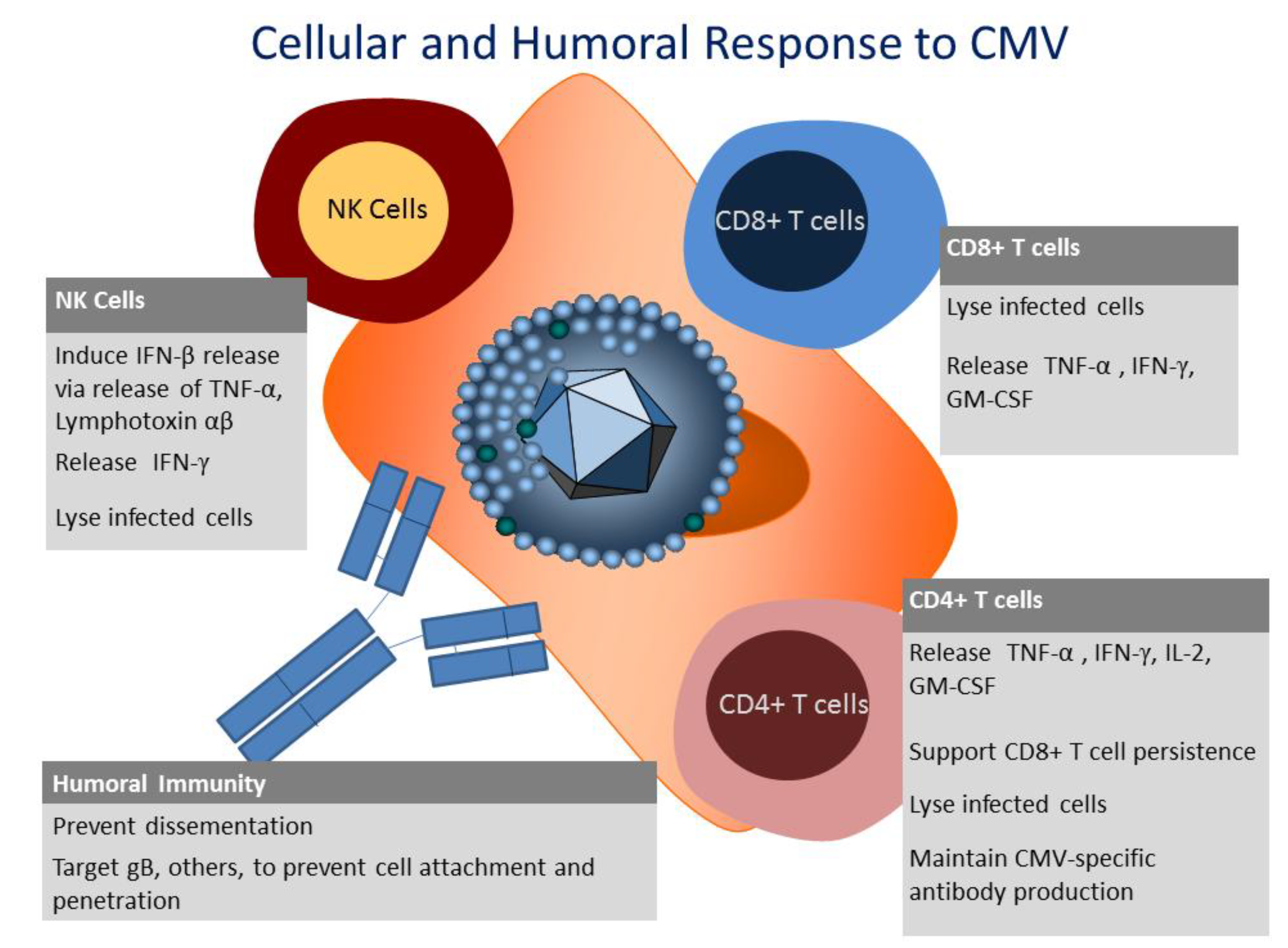 Viruses Free Full Text Controlling Cytomegalovirus