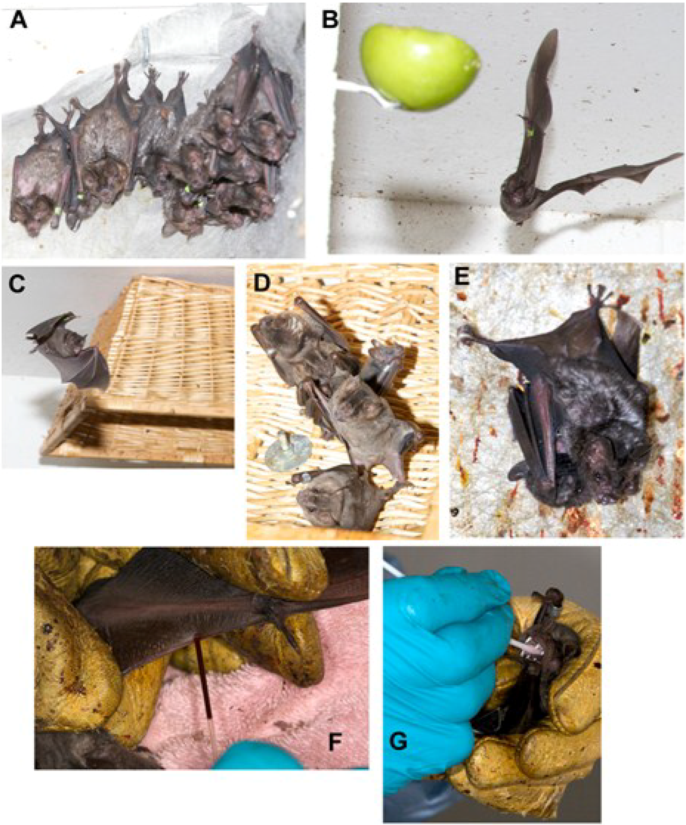 Viruses | Free Full-Text | Immunology of Bats and Their Viruses