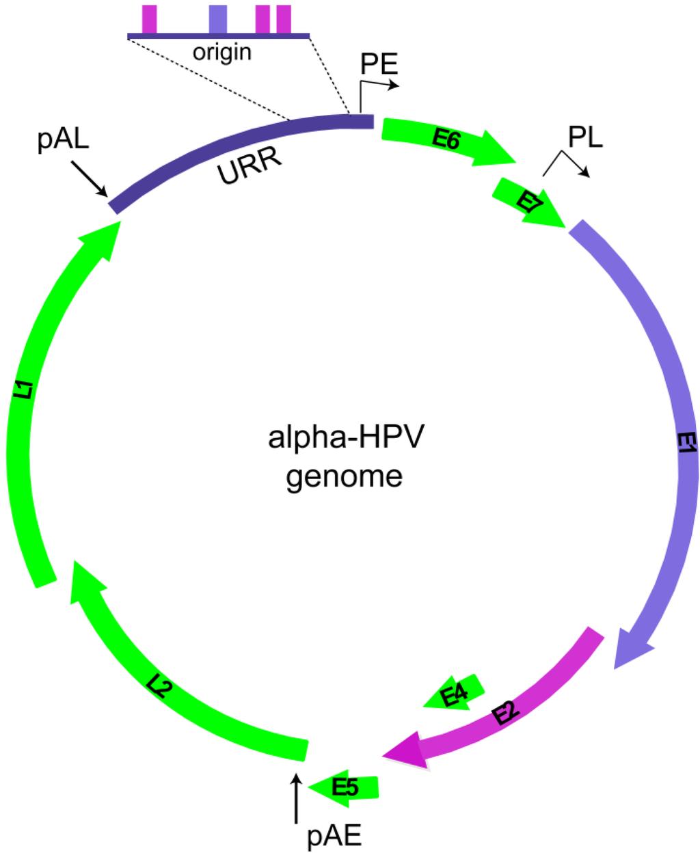 papiloma virus alfa