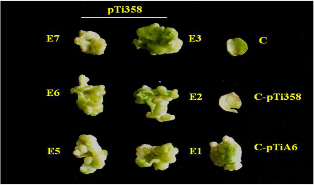 blcr protein from agobacterium tumefaciens The agrobacterium tumefaciens blcr is a member of the emerging isocitrate lyase transcription regulators (iclr) that negatively regulates metabolism of γ-butyrolactone, and its repressing function is relieved by succinate semialdehyde (ssa.