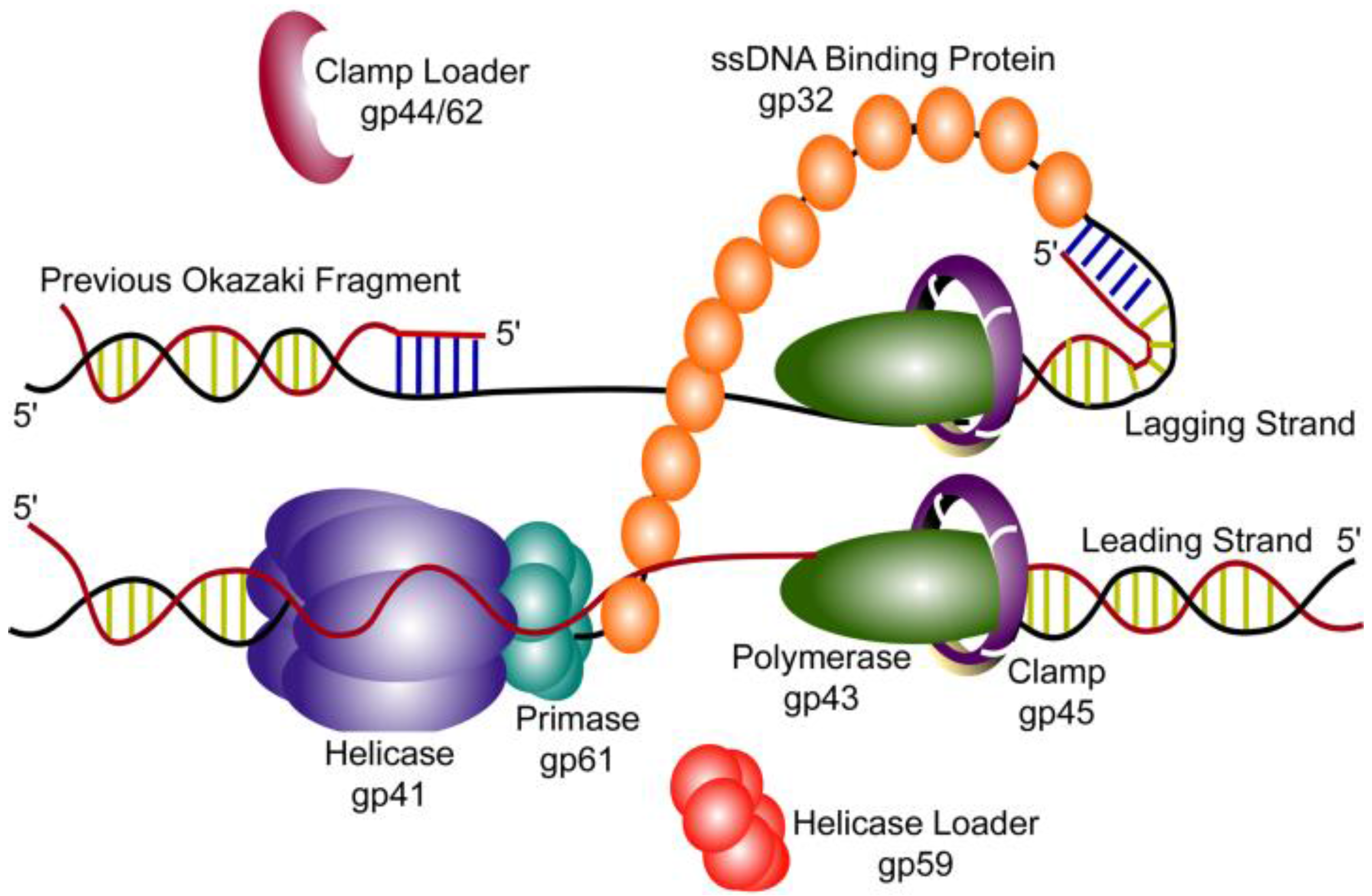 Viruses free full text coordinated dna replication by the no pooptronica