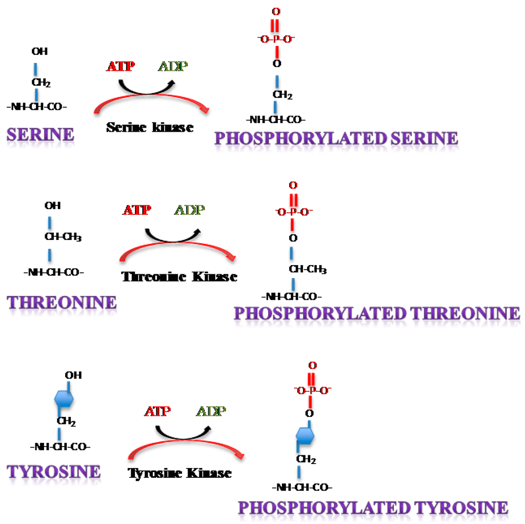 Viruses   Free Full-Text   Phosphorylation of Single ...
