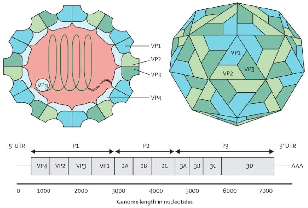 Viruses   Free Full-Text   Development of Novel Vaccines ...
