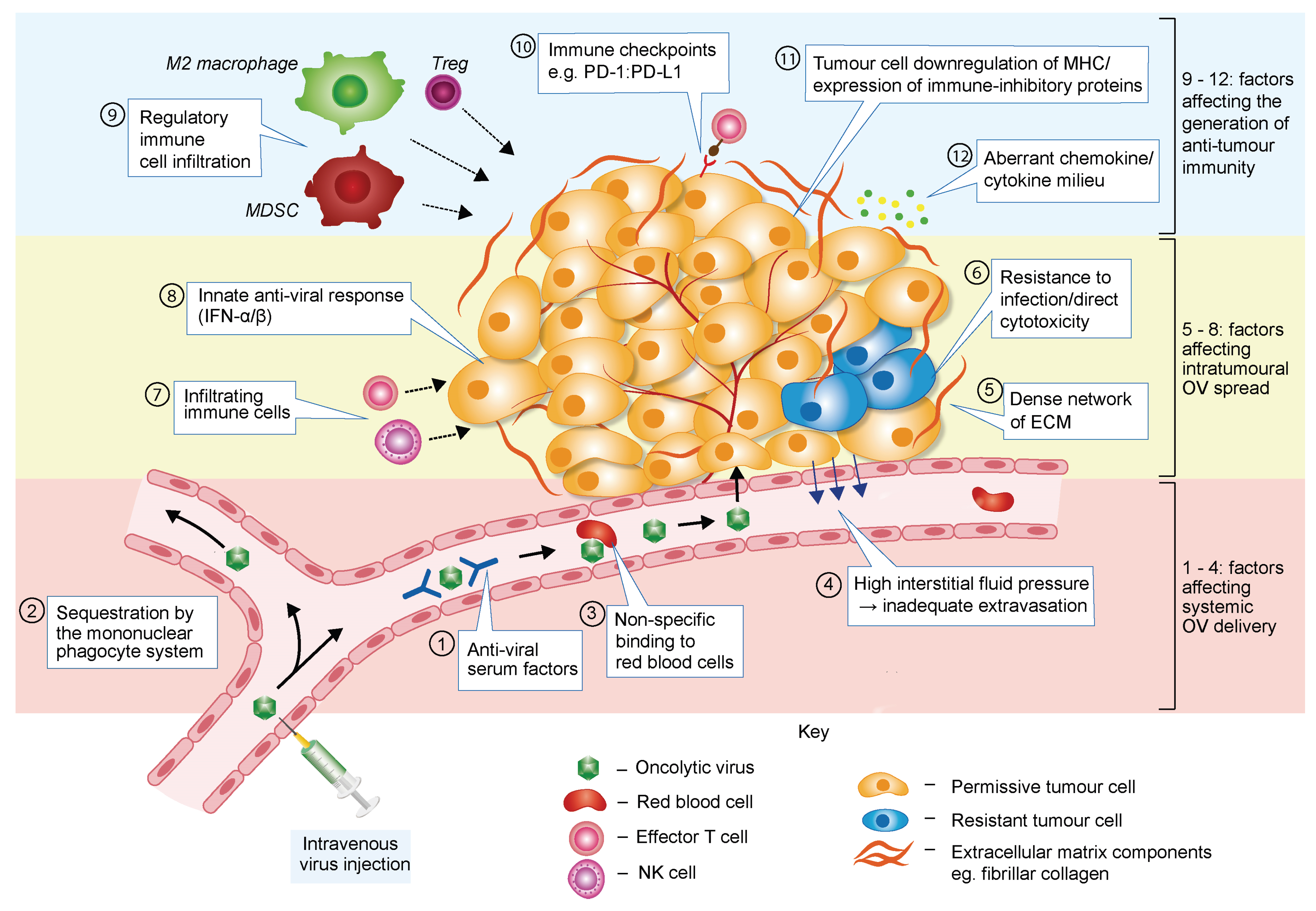 Viruses   Free Full-Text   Overcoming Barriers in Oncolytic