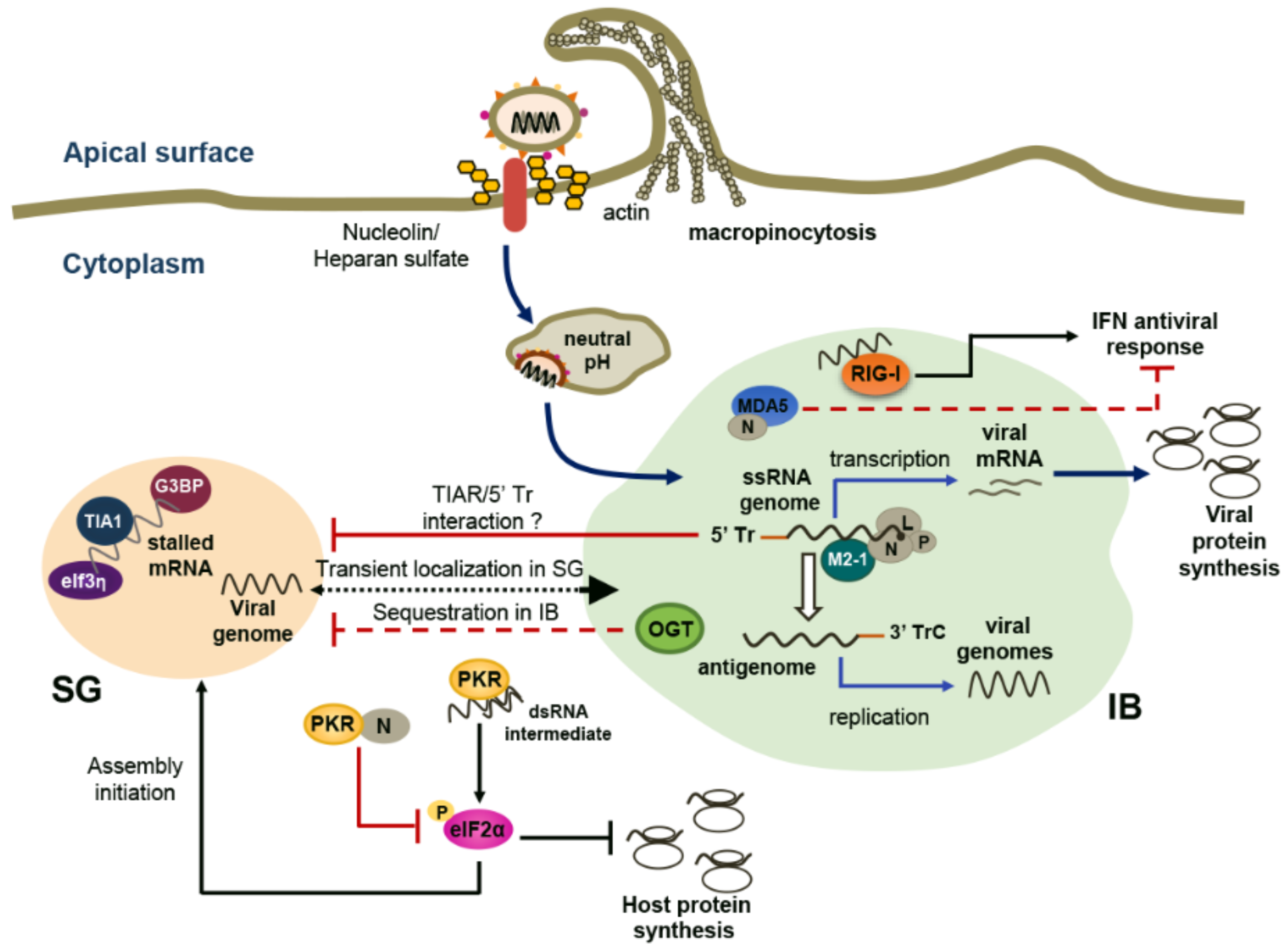 Role of viral respiratory infections in asthma and asthma