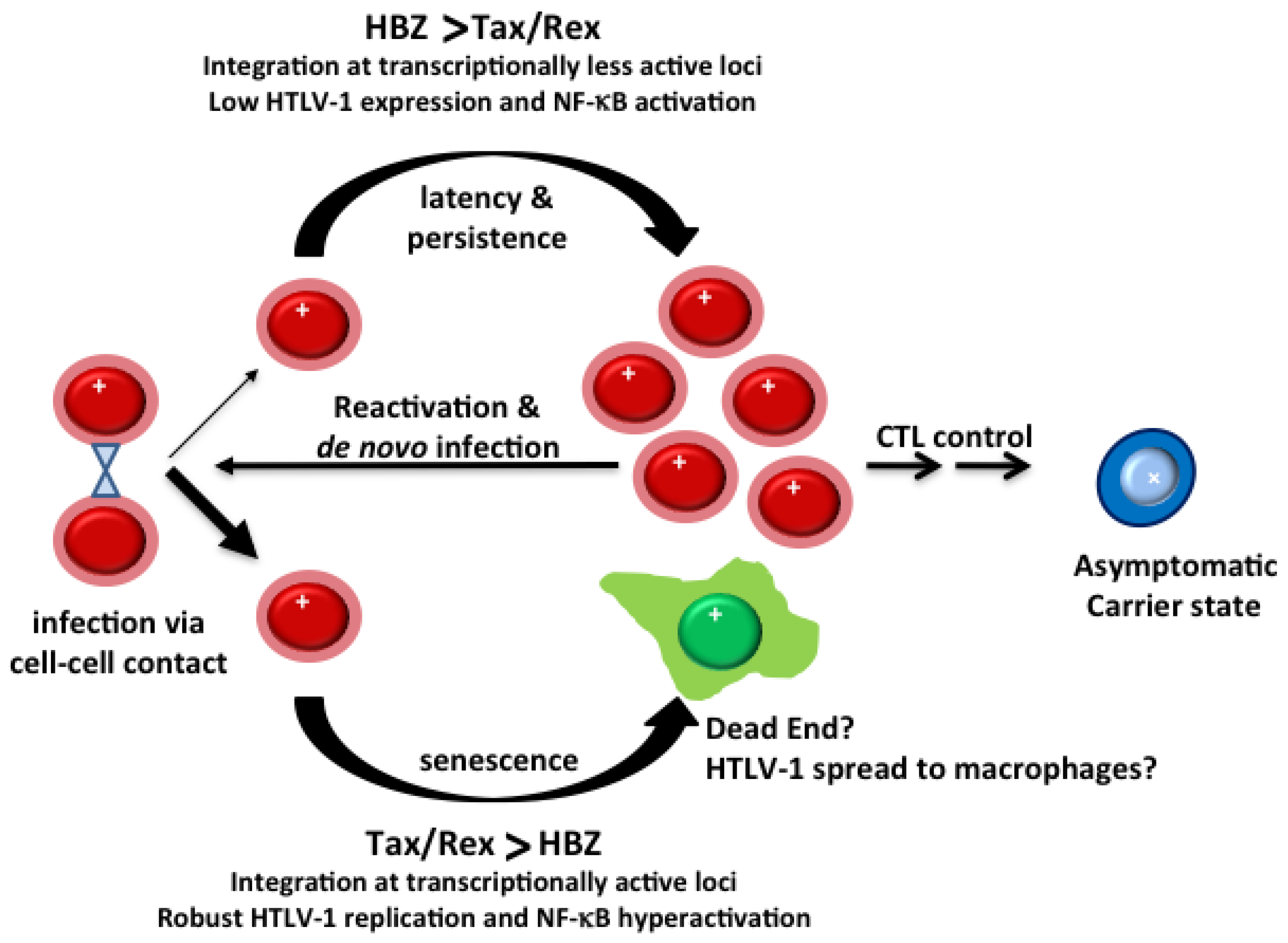 Viruses | Free Full-Text | HTLV-1 Infection and Adult T-Cell  Leukemia/Lymphoma—A Tale of Two Proteins: Tax and HBZ | HTML