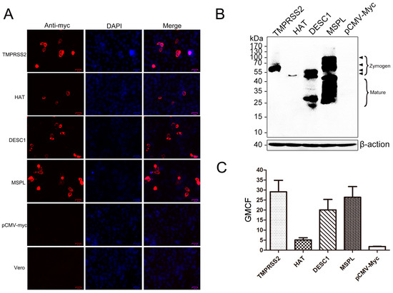TMPRSS2 and MSPL Facilitate Trypsin-Independent Porcine Epidemic Diarrhea Virus Replication in Vero Cells