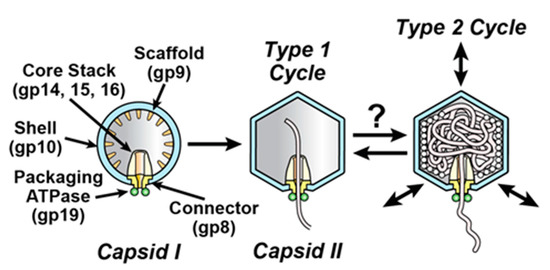 ATP-Driven Contraction of Phage T3 Capsids with DNA Incompletely Packaged In Vivo