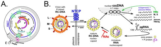 A Role for the Host DNA Damage Response in Hepatitis B Virus cccDNA Formation—and Beyond