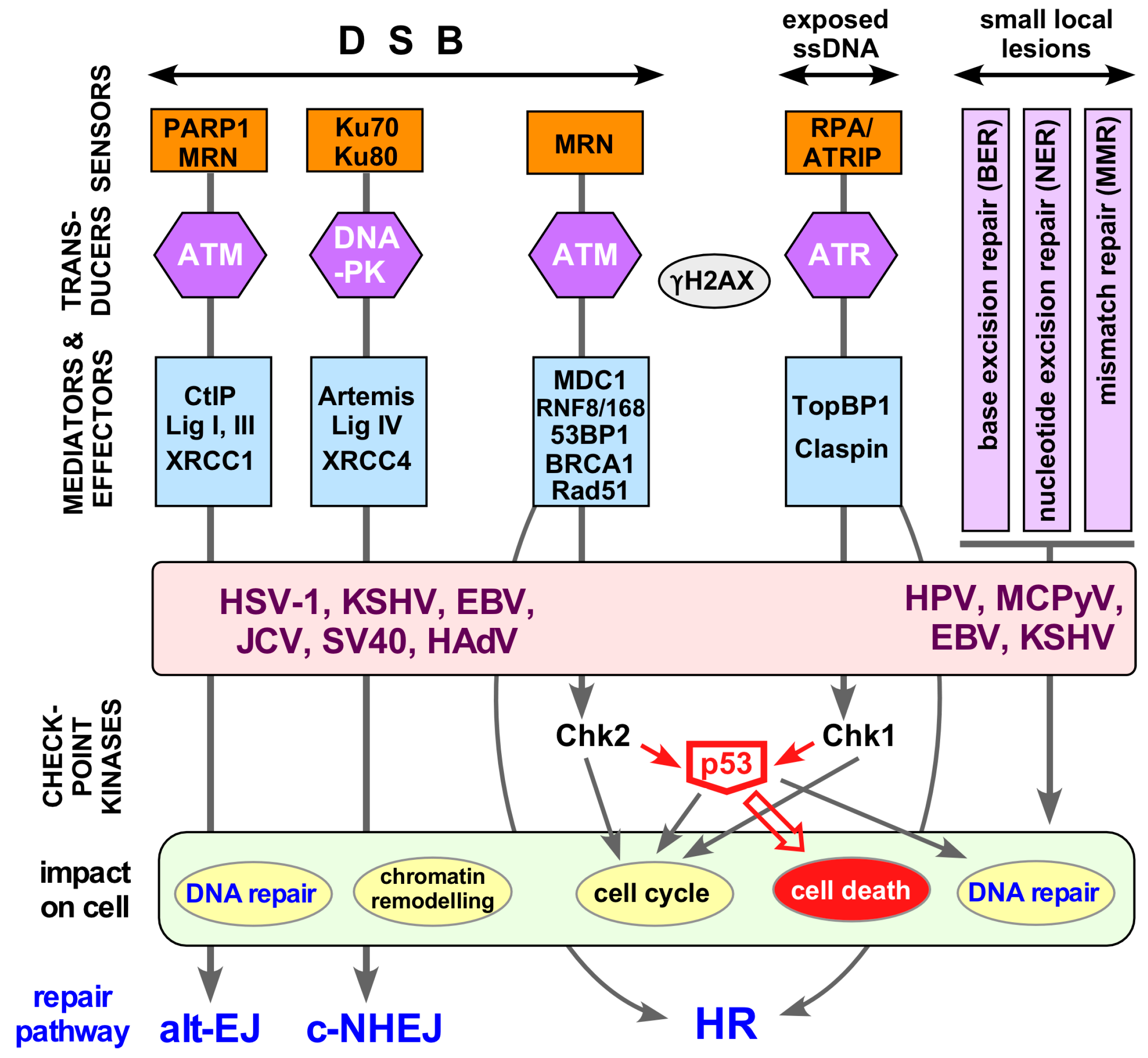 Replication Of Animal Viruses Concept Map.Viruses Free Full Text A Role For The Host Dna Damage Response