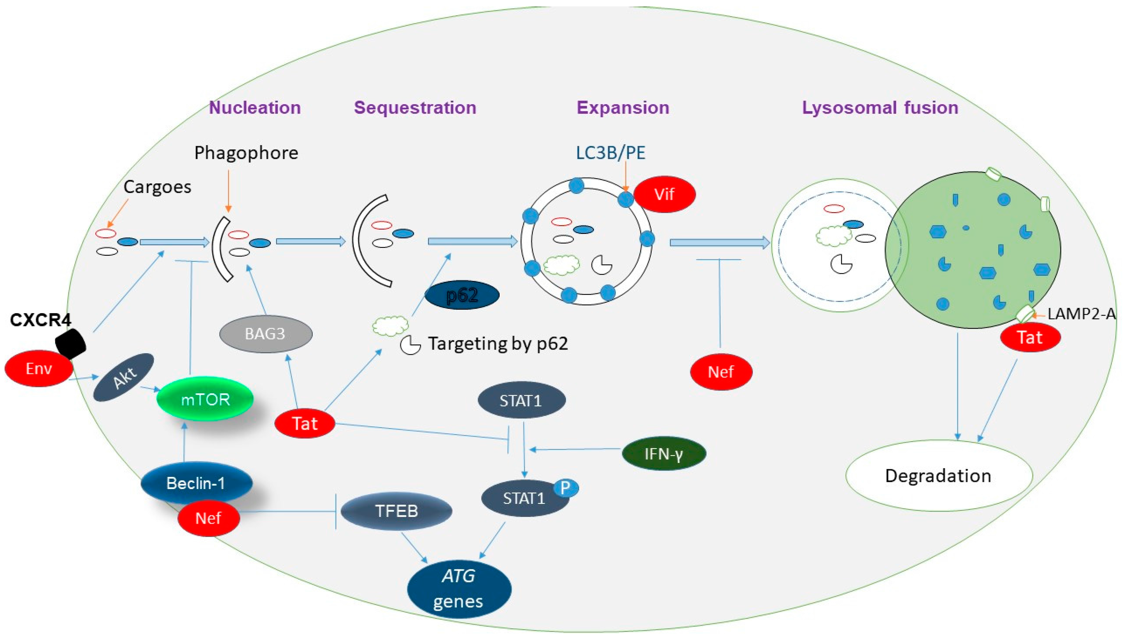 Viruses | Free Full-Text | Interplay between Autophagy, Exosomes and