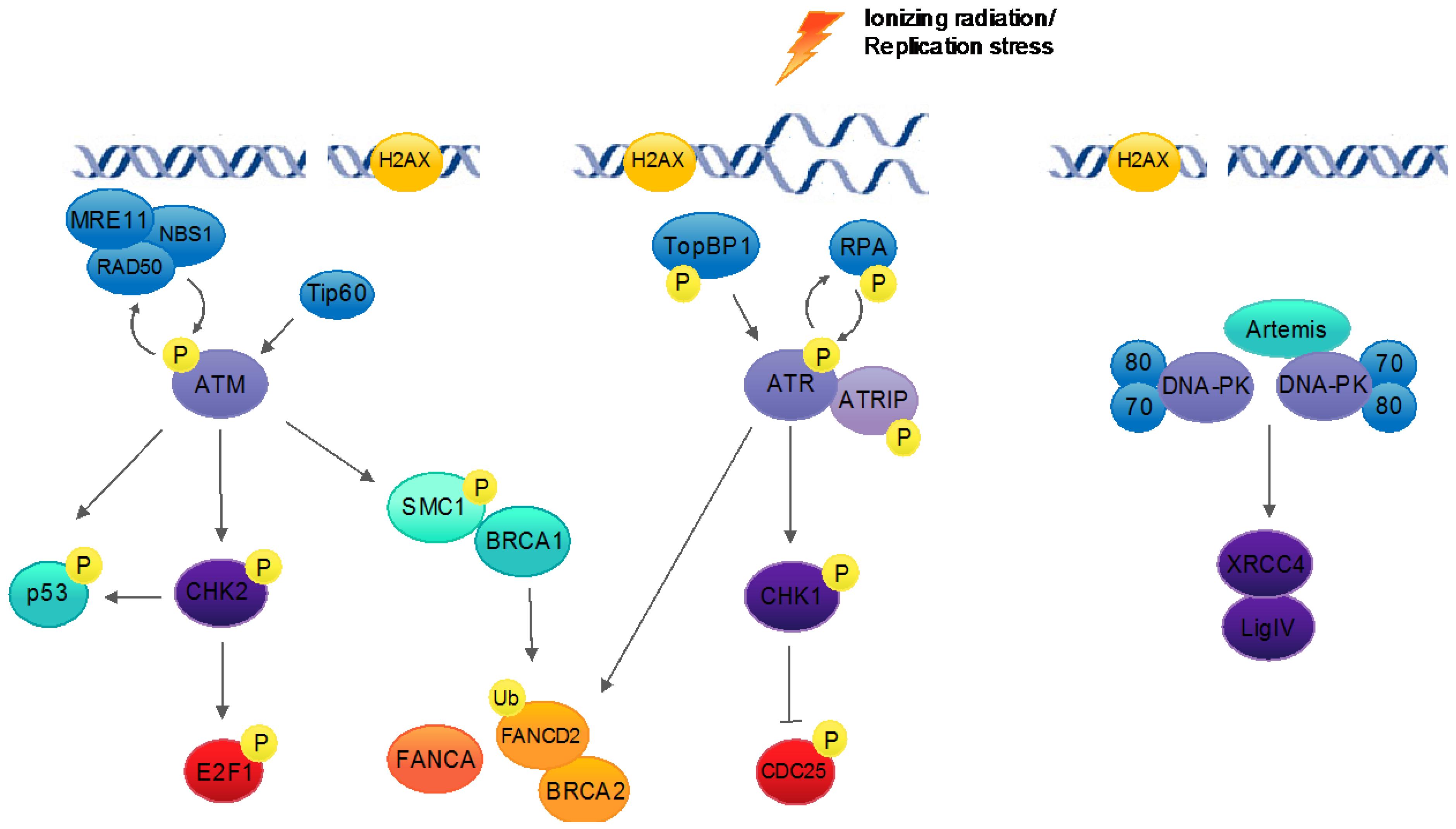 Viruses   Free Full-Text   Human Papillomavirus and the DNA