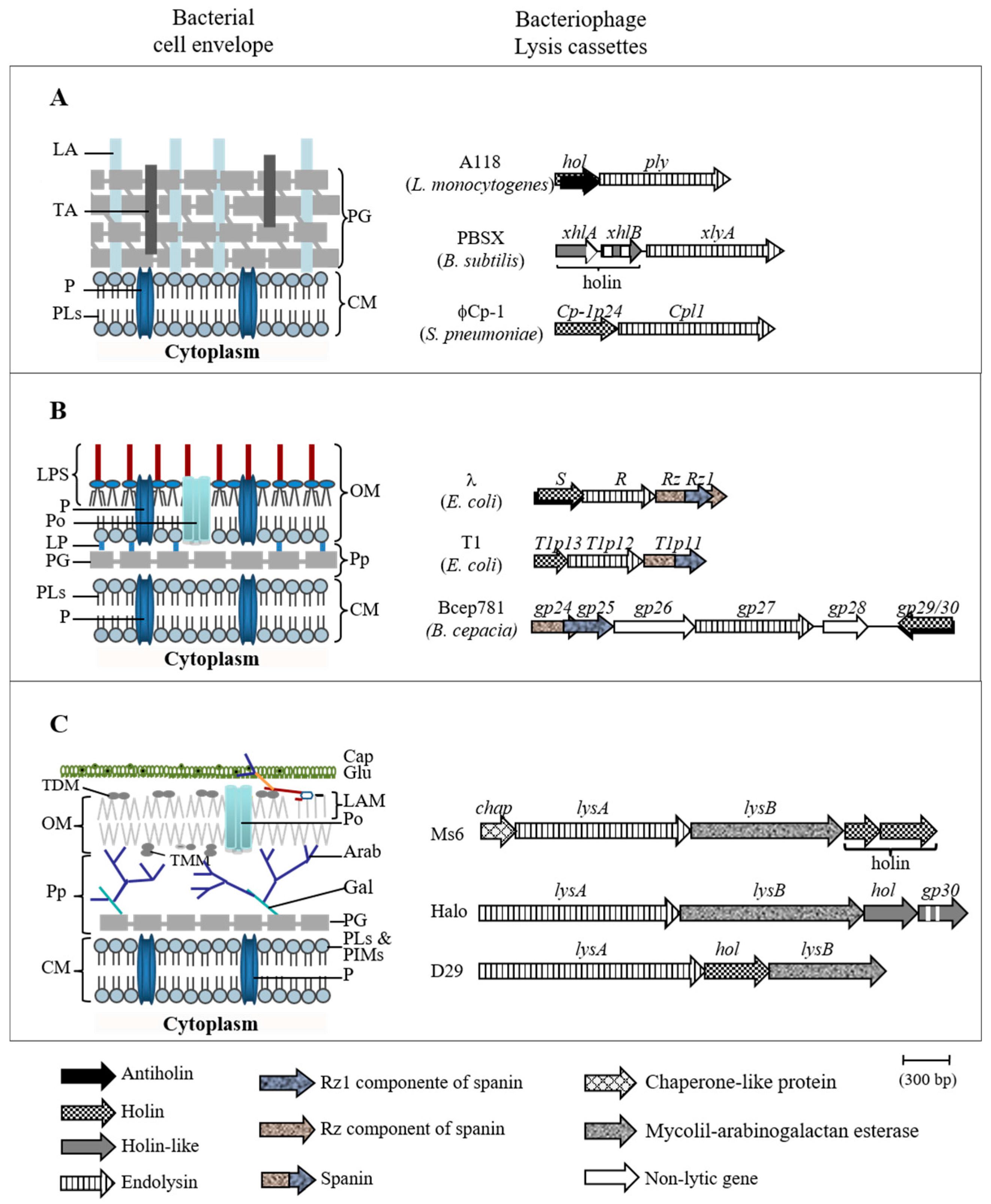 viruses | free full-text | the ms6 mycolyl-arabinogalactan esterase