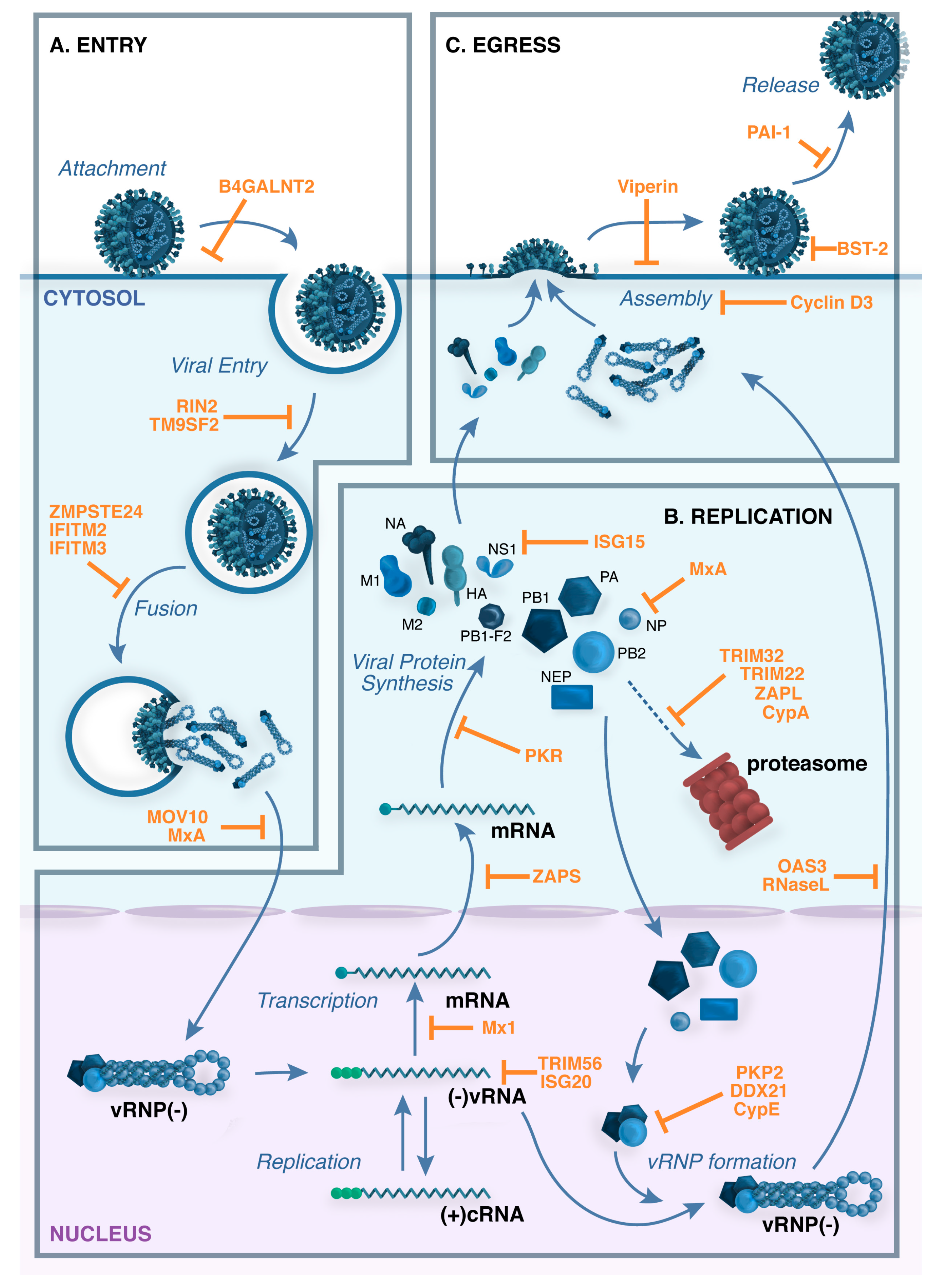 Replication Of Animal Viruses Concept Map.Viruses Free Full Text Host Cell Restriction Factors That Limit