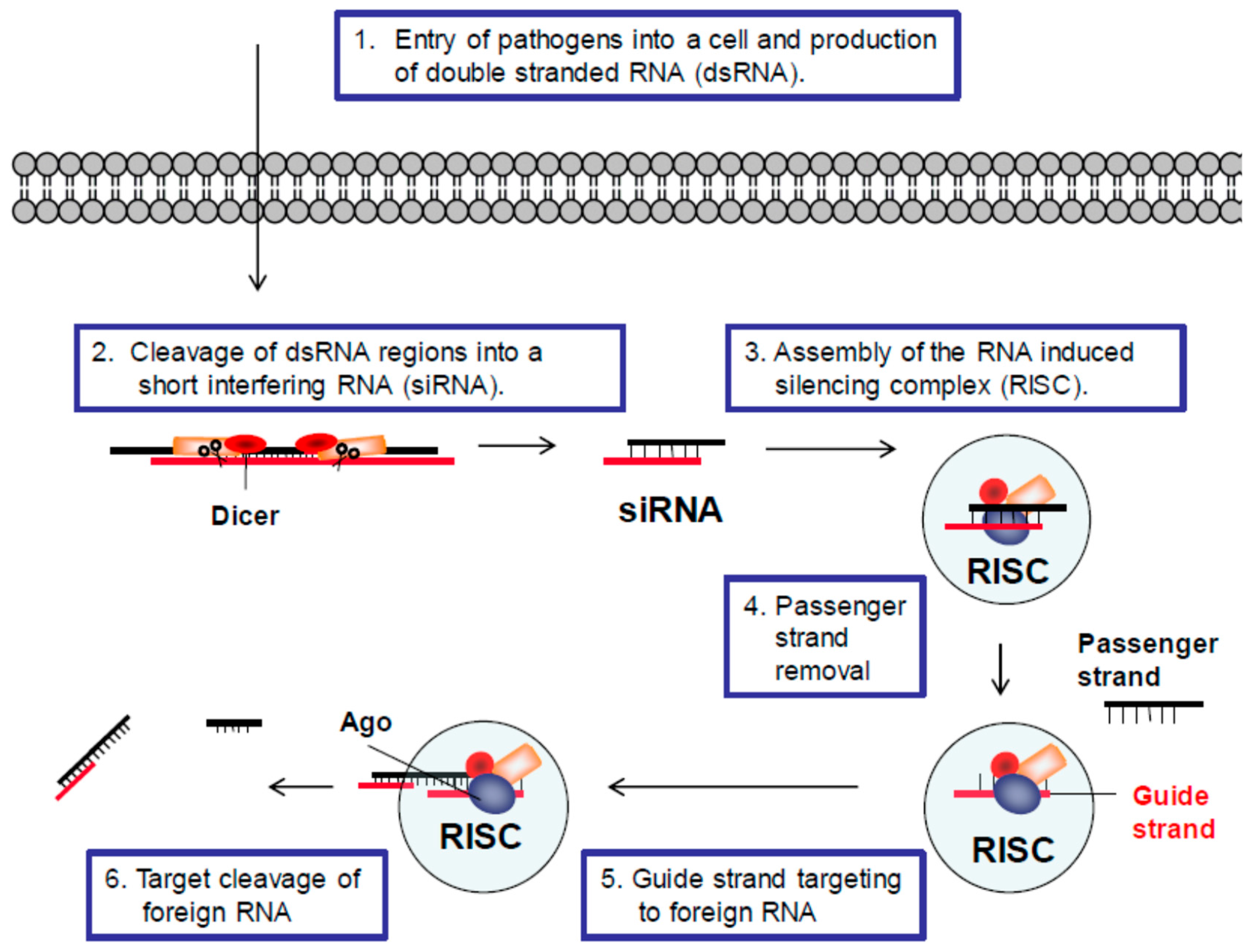 short interfering rna essay Small interfering rna (sirna), sometimes known as short interfering rna or  silencing rna,  a 2006 paper from the laboratory of dr khvorova implicates 6-  or 7-basepair-long stretches from position 2 onward in the sirna matching with.