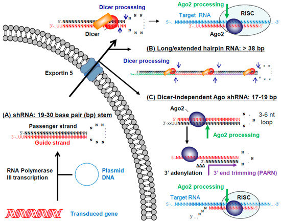 an analysis of the ezrin silencing by small hairpin rna Ezrin function as a small g protein regulator and subjected to immunoblot analysis as above short hairpin rna (hairpin small interfering rna) synthesis.