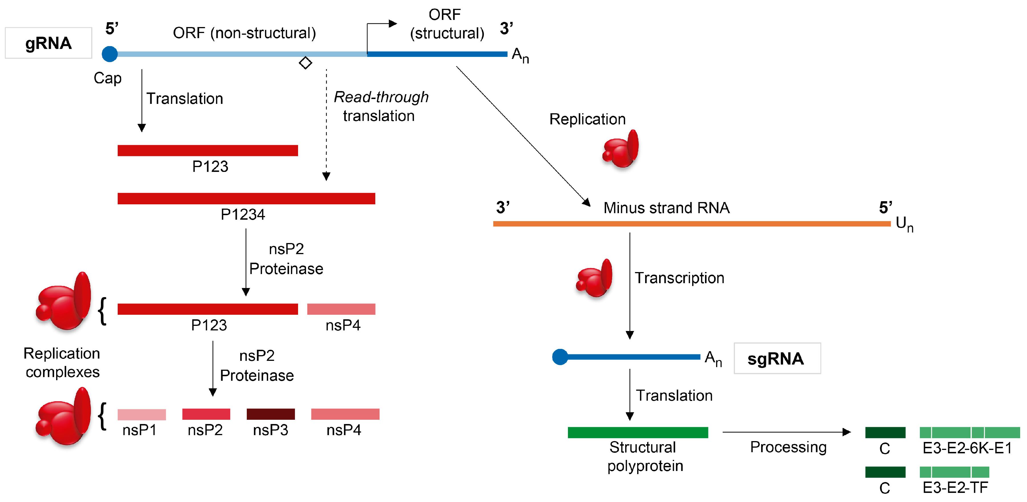 Viruses   Free Full-Text   The Regulation of Translation in