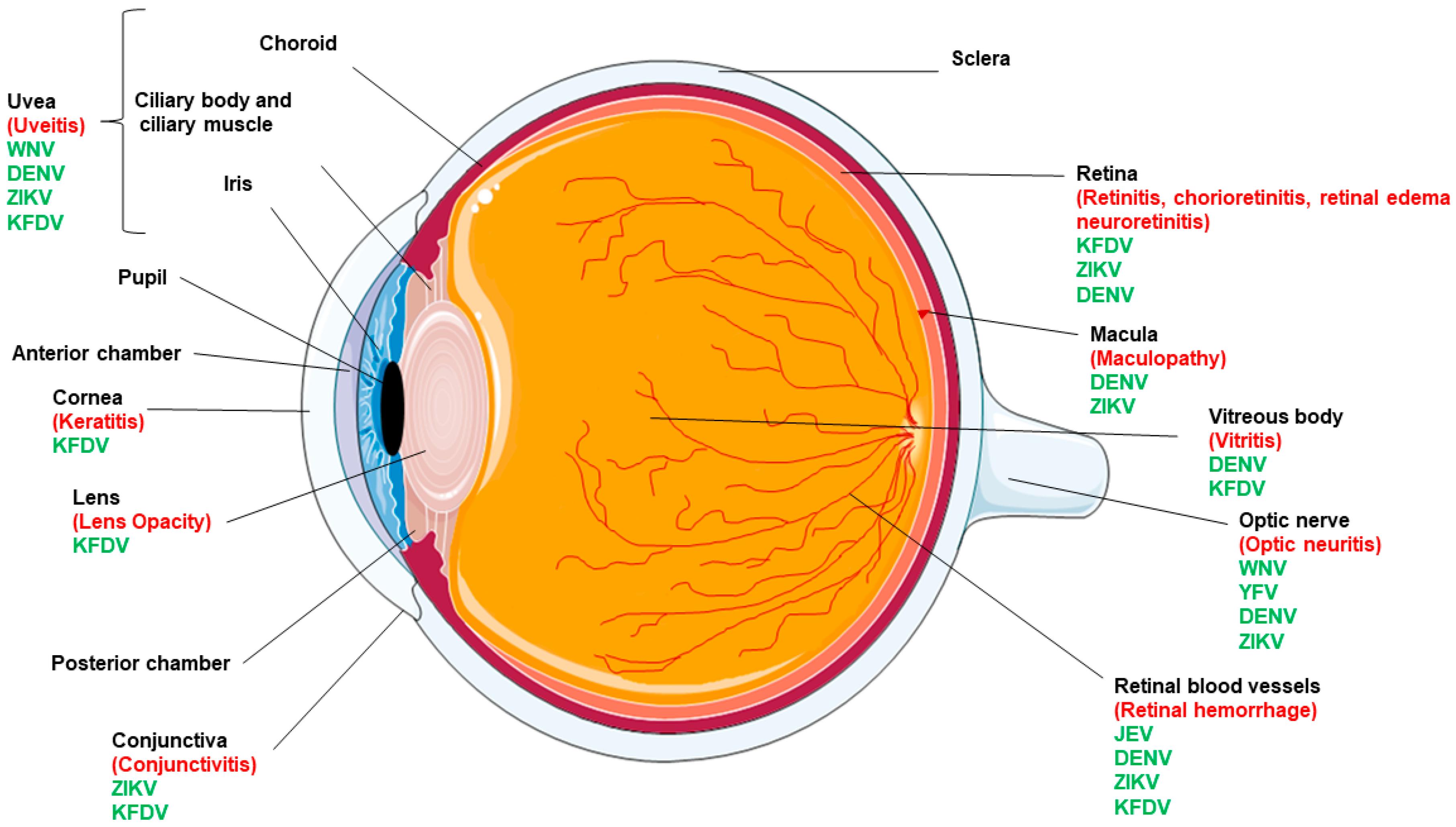 Viruses   Free Full-Text   Ocular Manifestations of Emerging ...