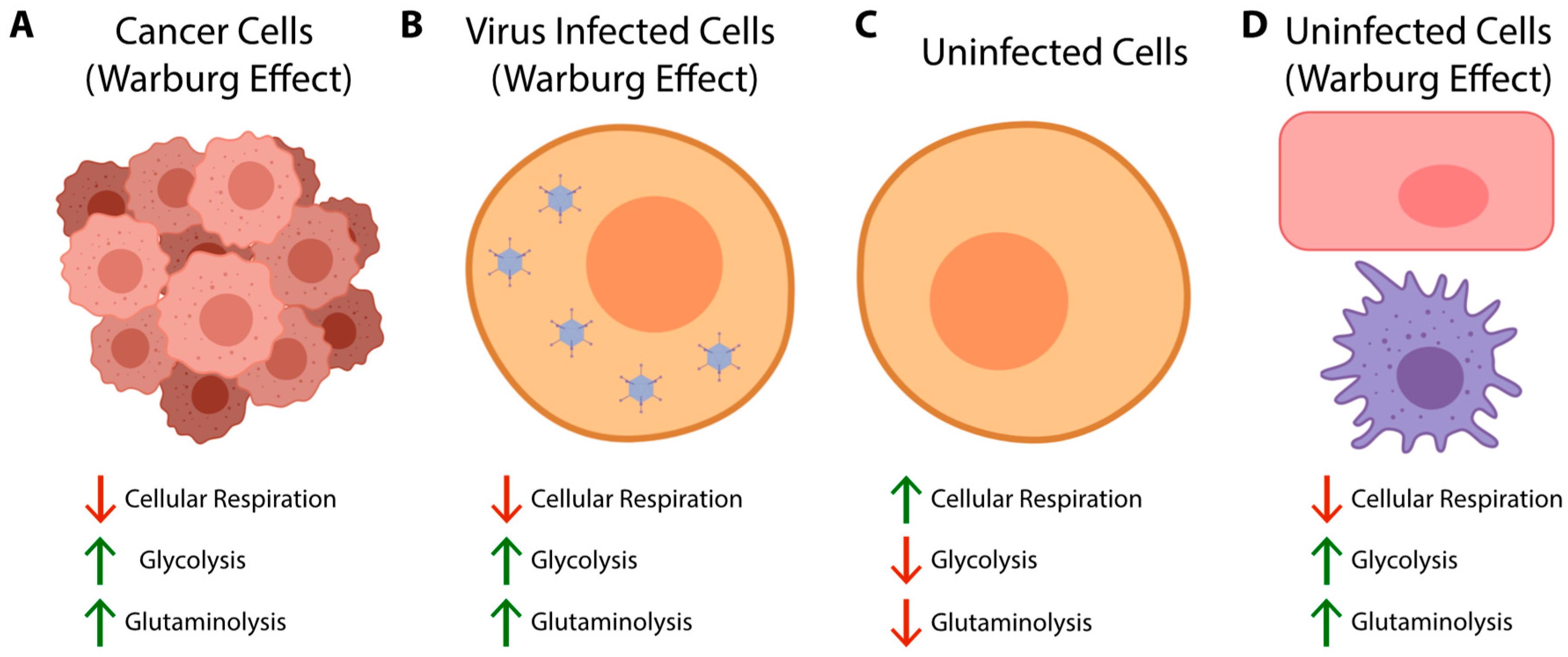 Viruses   Free Full-Text   Metabolic Reprogramming of the