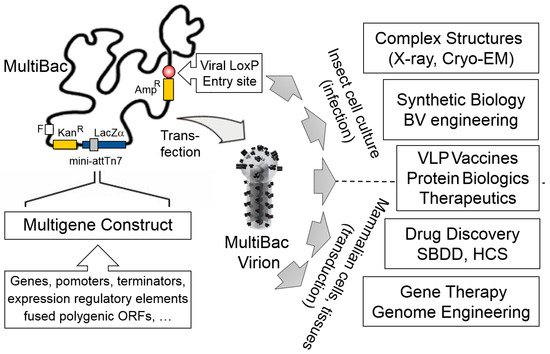 Viruses | Special Issue : Baculovirus Advances and Applications