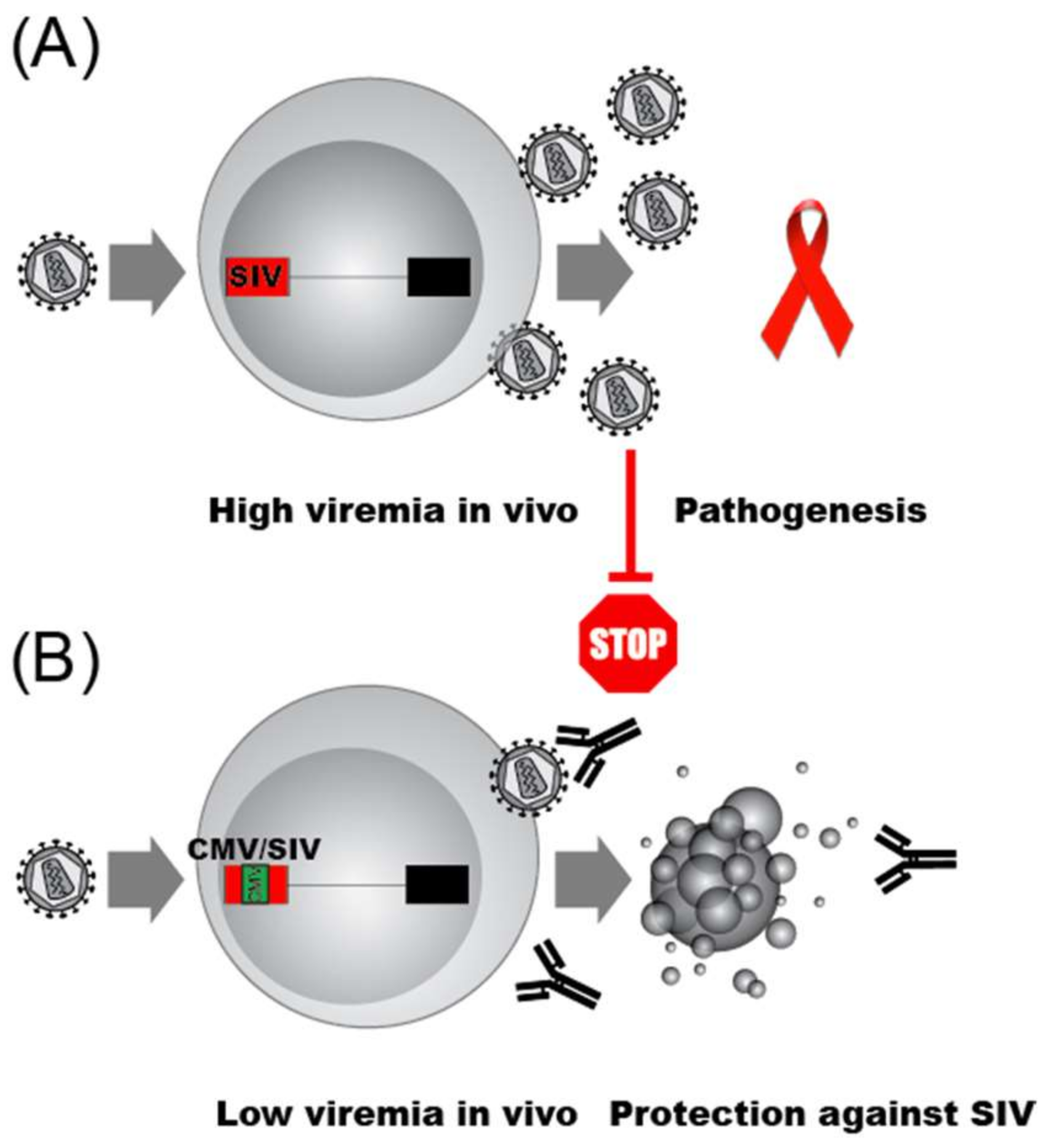 Viruses | Free Full-Text | Cat and Mouse: HIV Transcription in