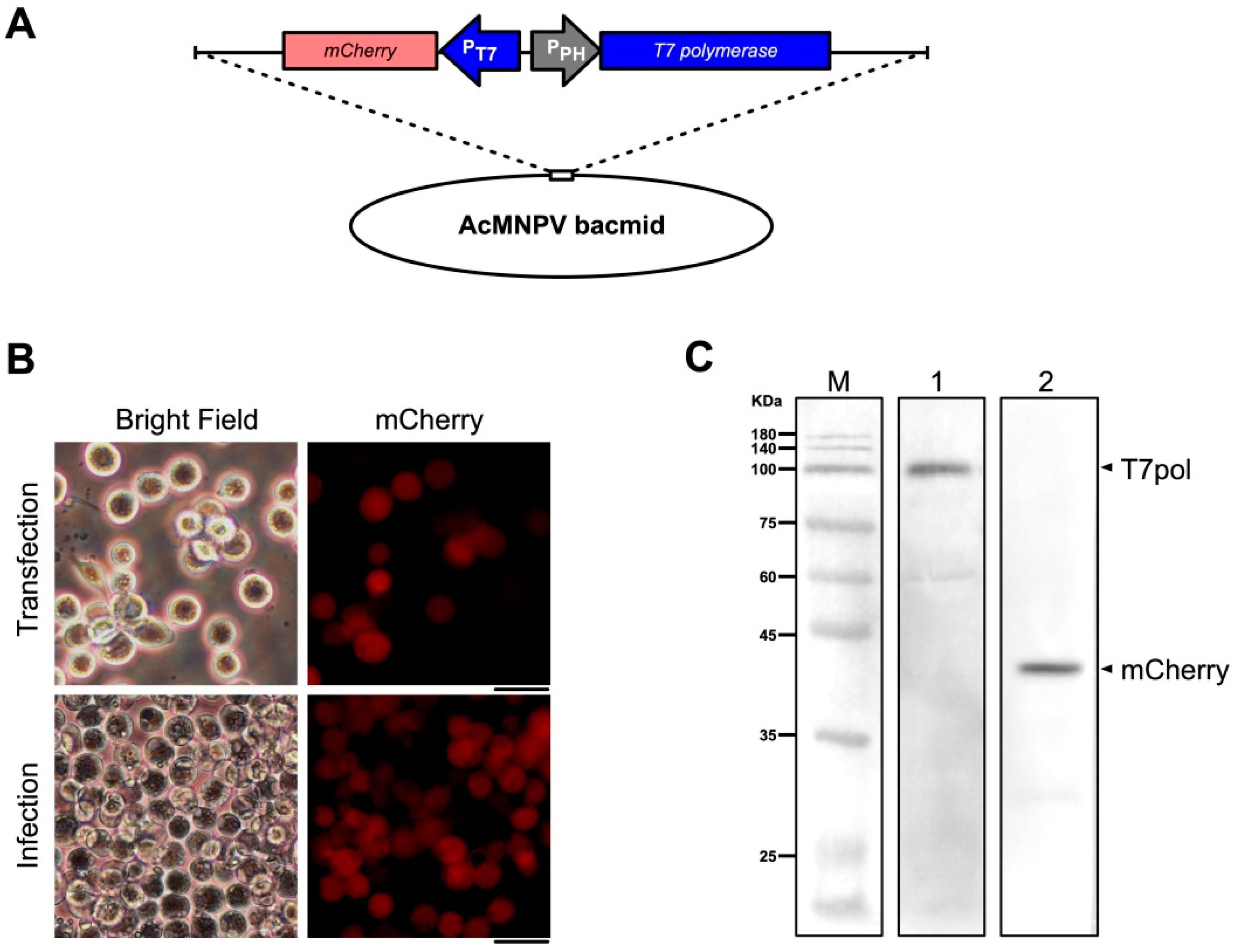Viruses   Free Full-Text   A Reverse Genetics System for