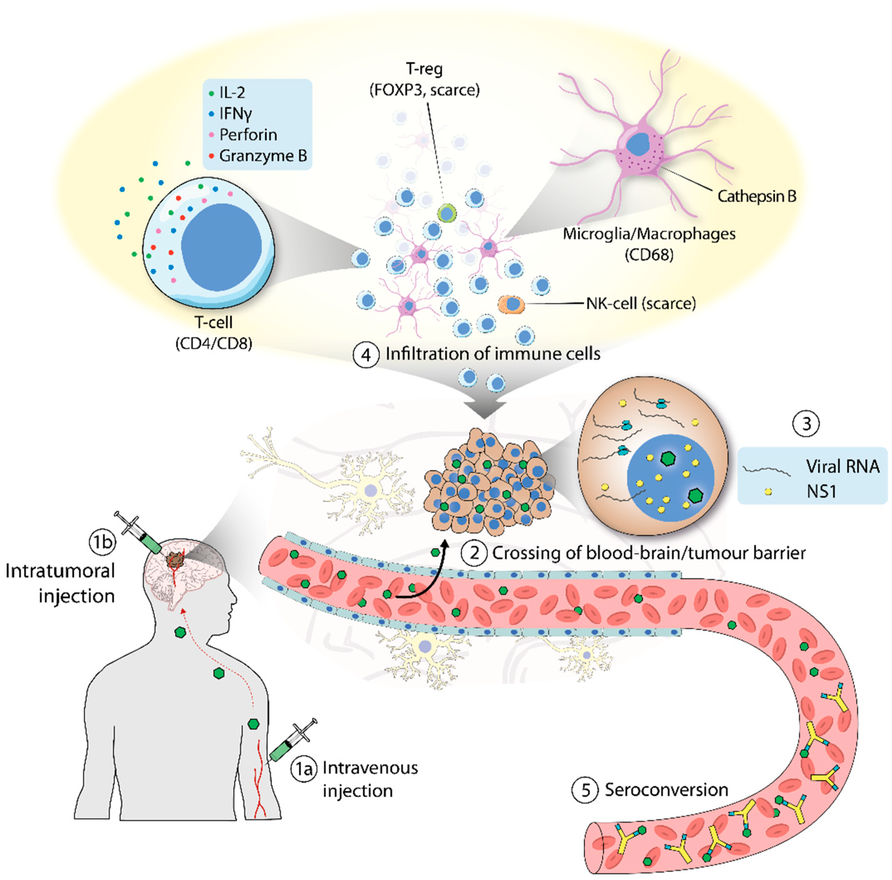 Viruses   Free Full-Text   H-1 Parvovirus as a Cancer