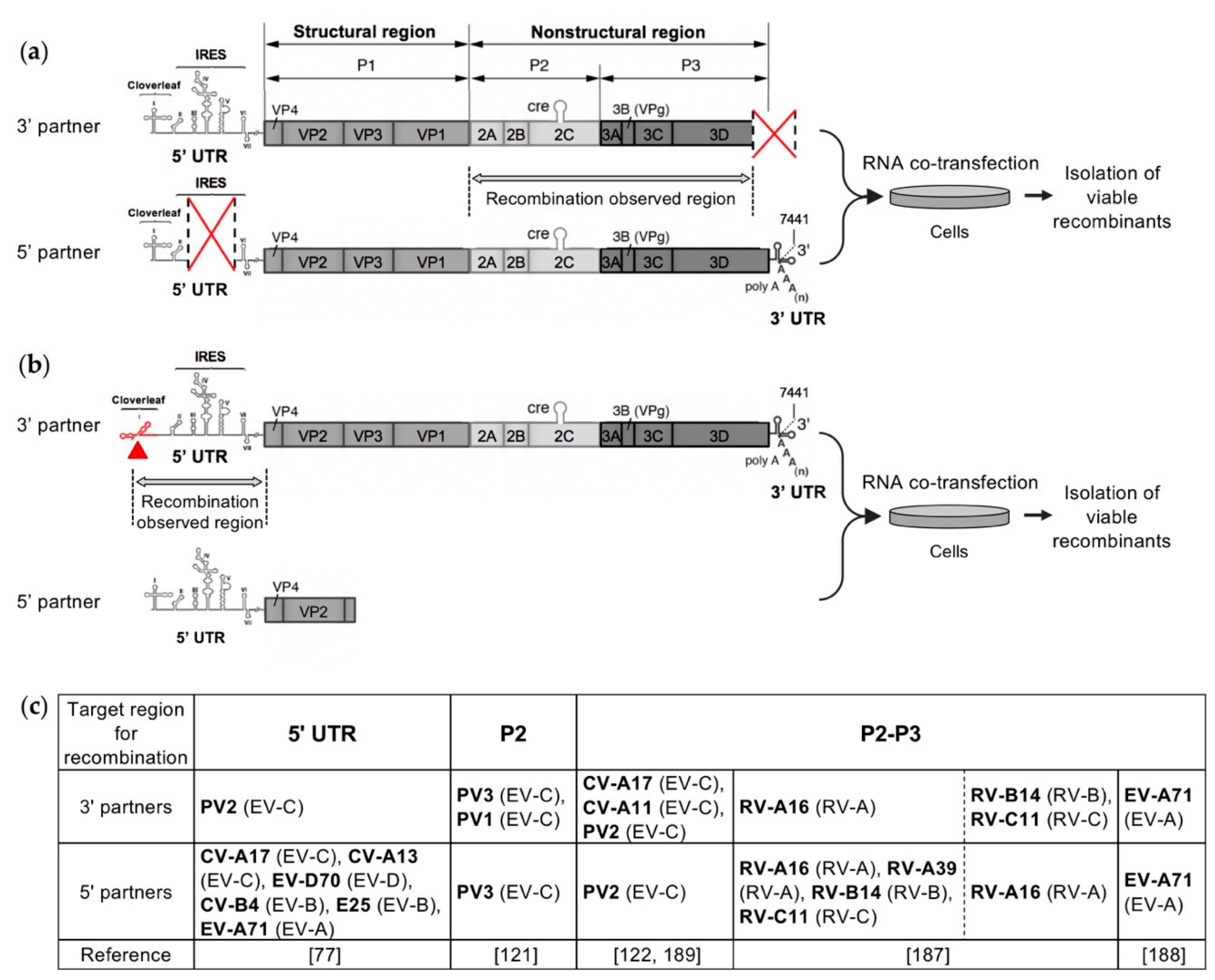 Viruses Free Full Text Recombination In Enteroviruses A Multi Step Modular Evolutionary Process Html