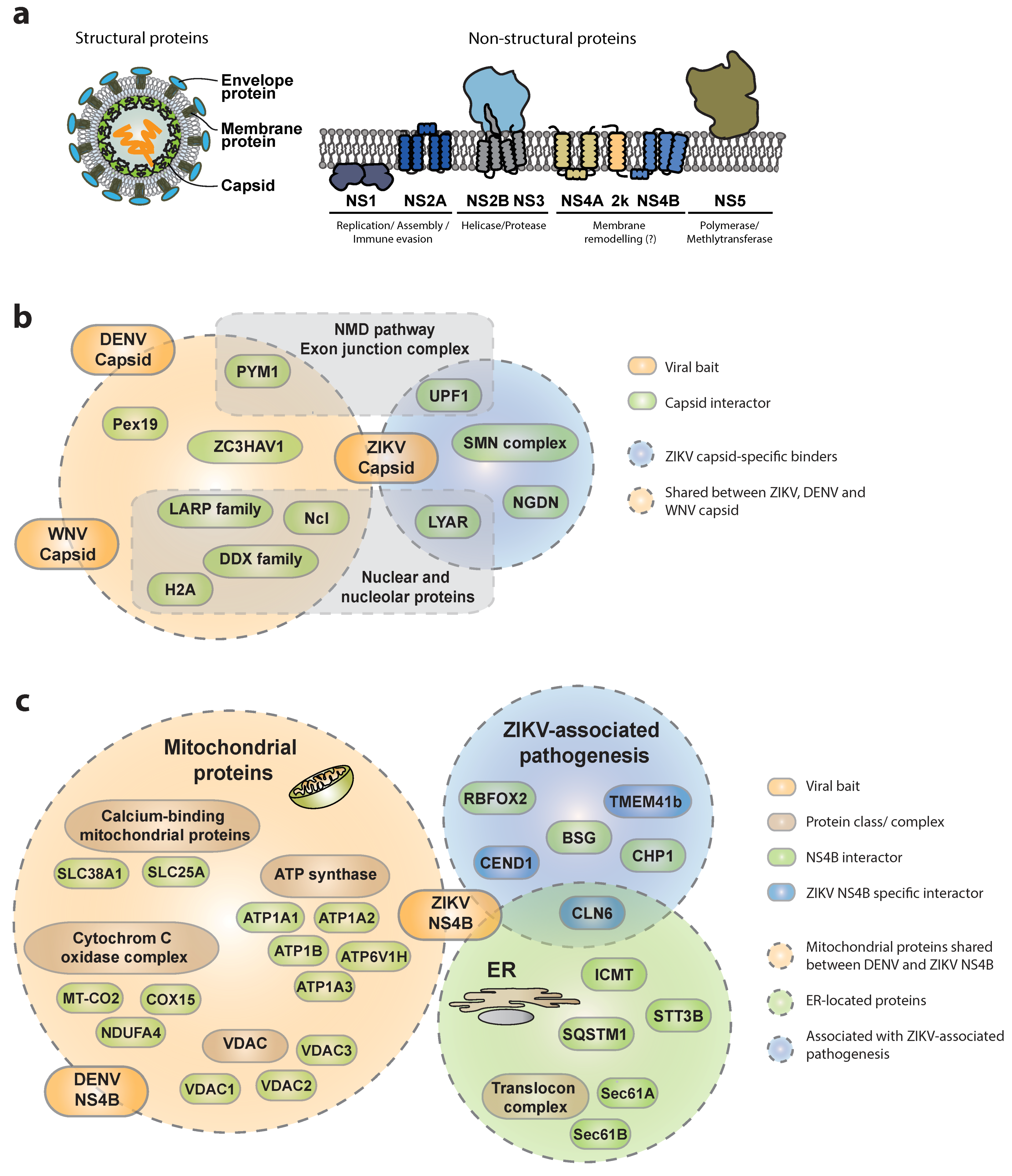 Viruses | Free Full-Text | Chasing Intracellular Zika ...