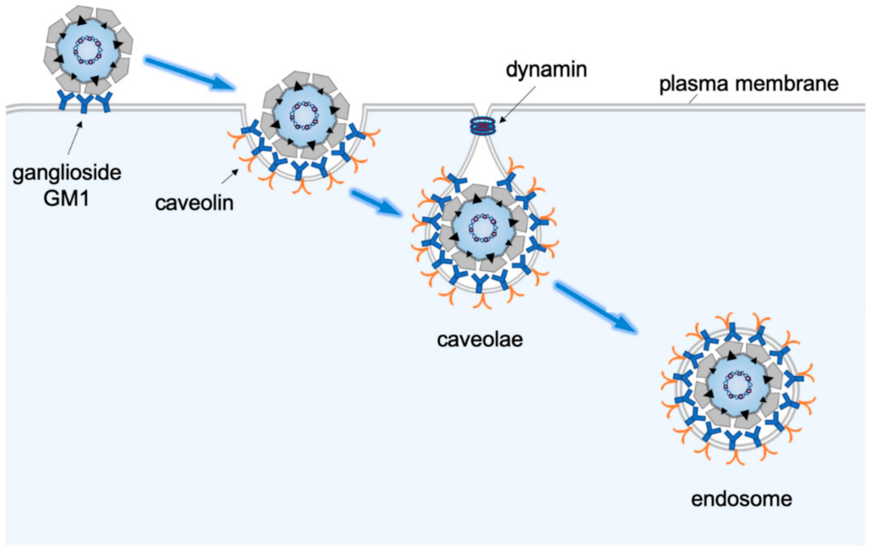 princess-aol-receptor-mediated-direct-penetration-virus-girls