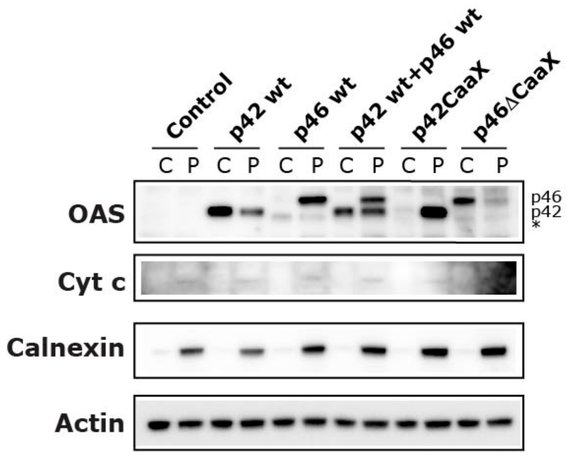 Viruses Free Full Text The Cellular Localization Of The P42 And P46 Oligoadenylate Synthetase 1 Isoforms And Their Impact On Mitochondrial Respiration Html