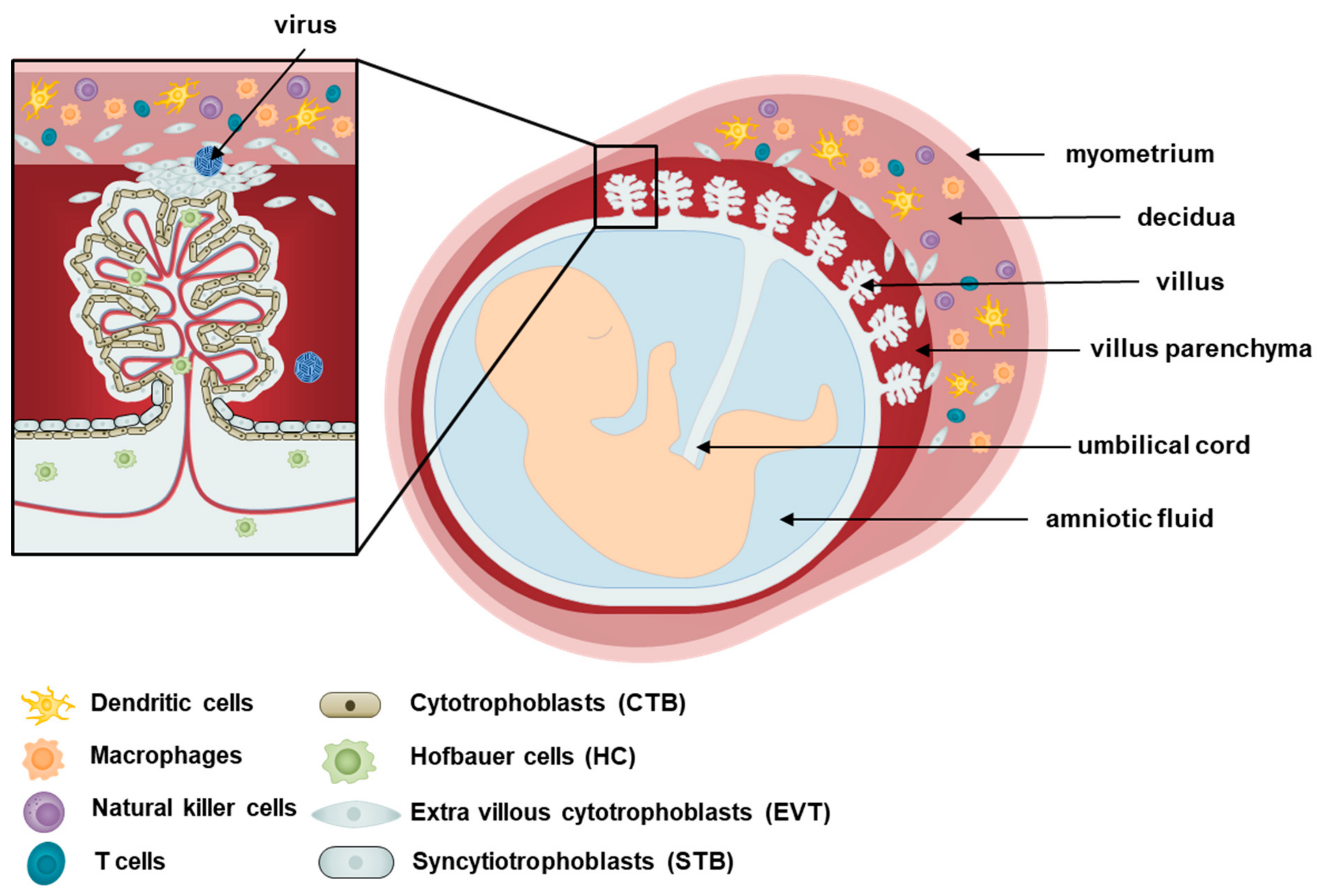 Viruses | Free Full-Text | Recent Updates on Research Models and Tools to  Study Virus–Host Interactions at the Placenta | HTML