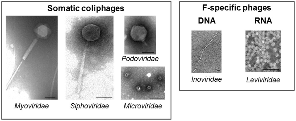Coliphages Drinking Water