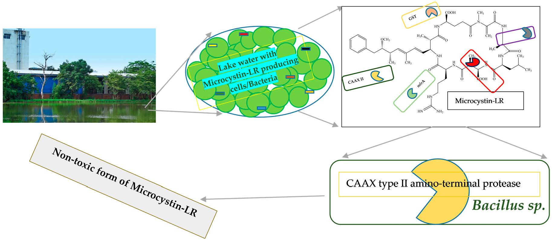 Water free full text microcystin lr biodegradation by bacillus graphical abstract ccuart Images