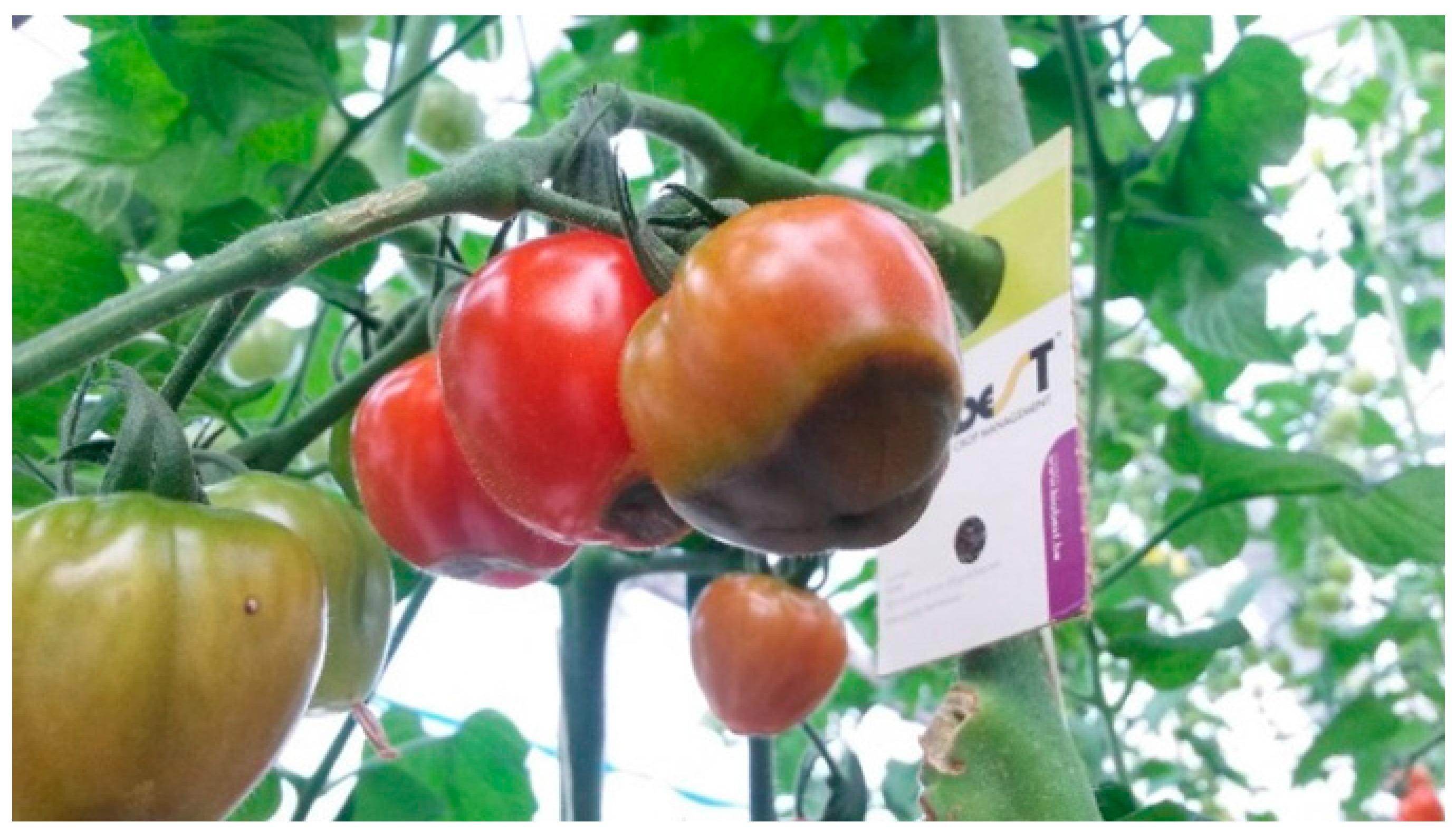 Water Free Full Text Tomato Productivity And Quality
